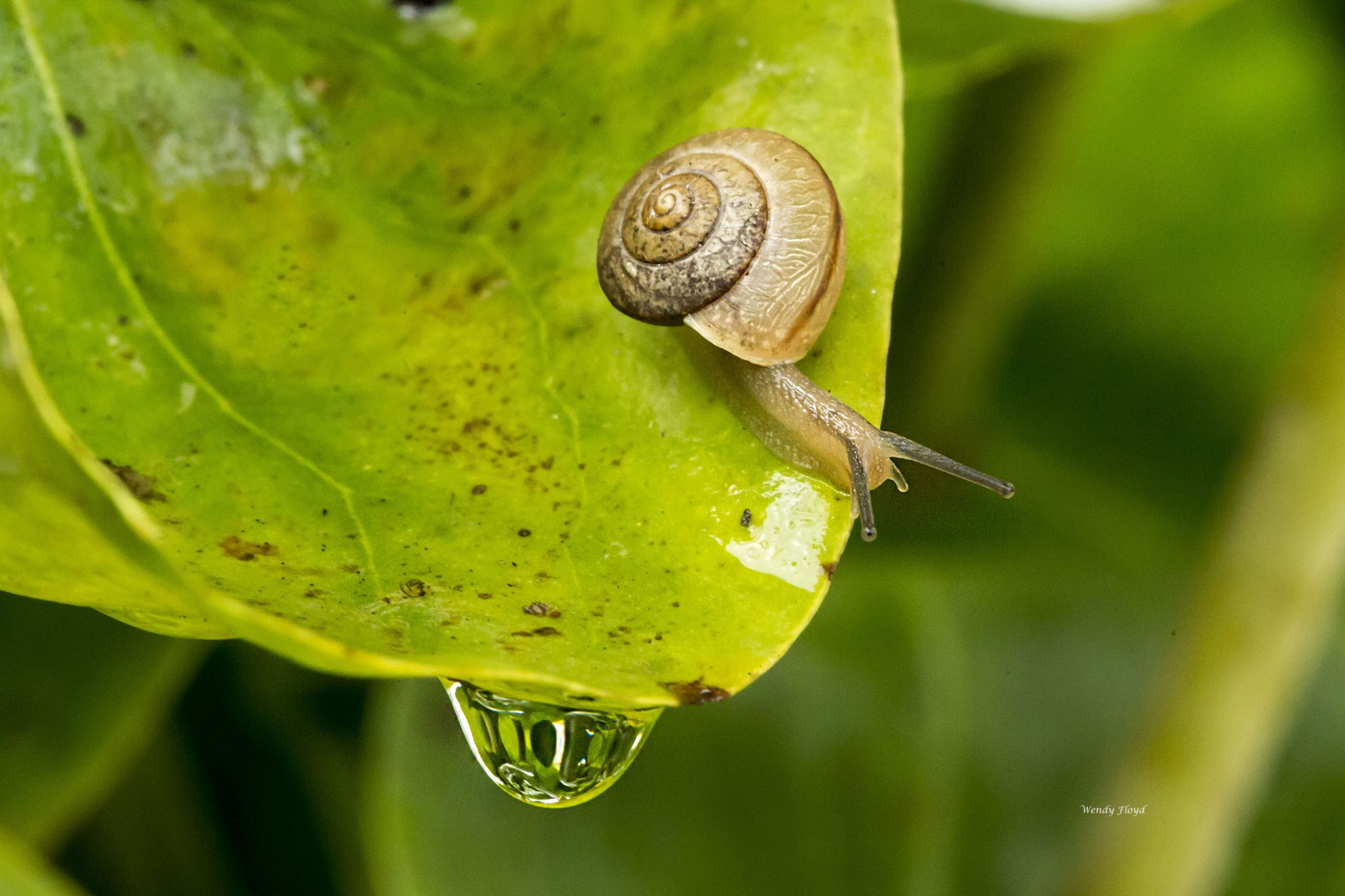 Snail and water droplet by WendyFloyd1