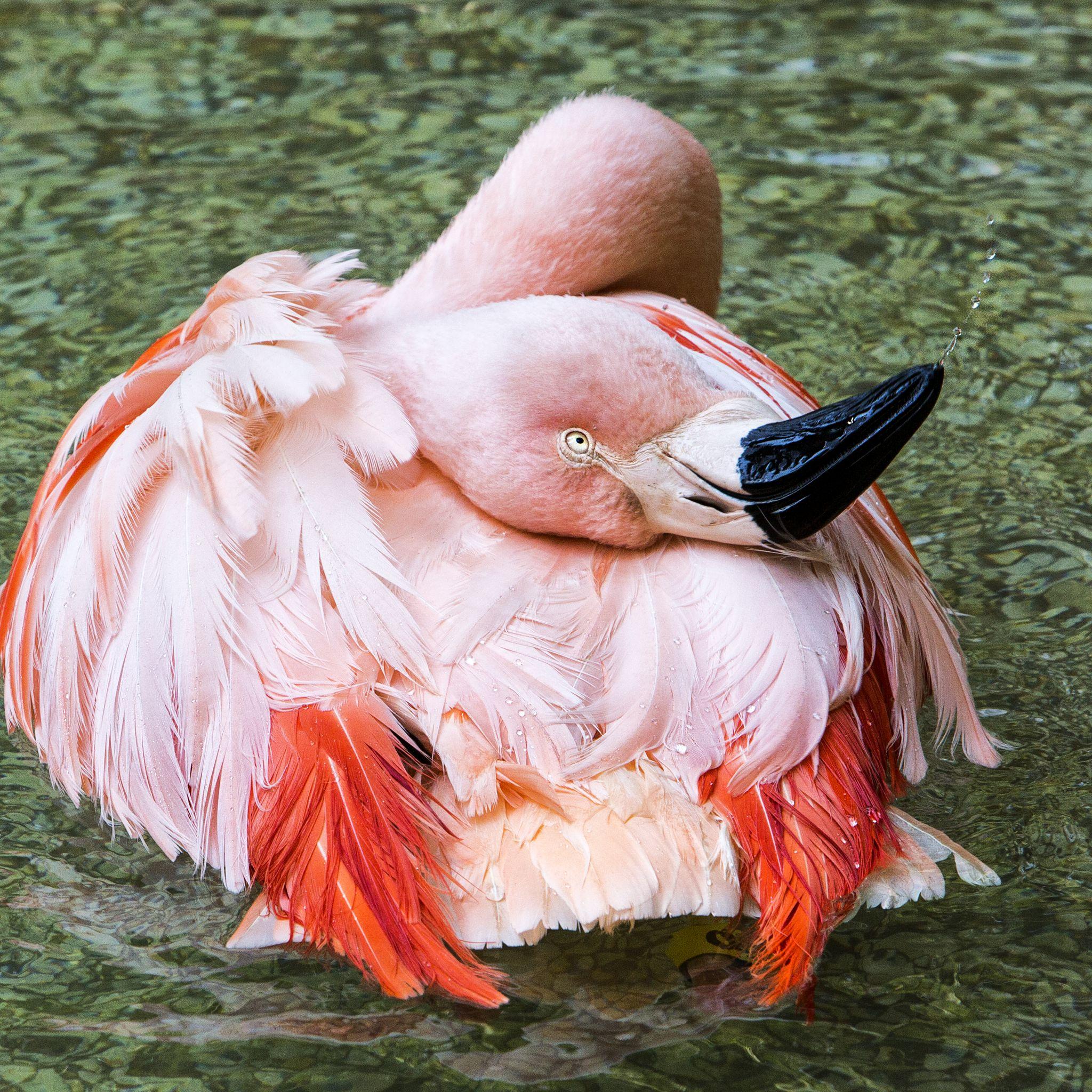 Funny Flamingo  by WendyFloyd1
