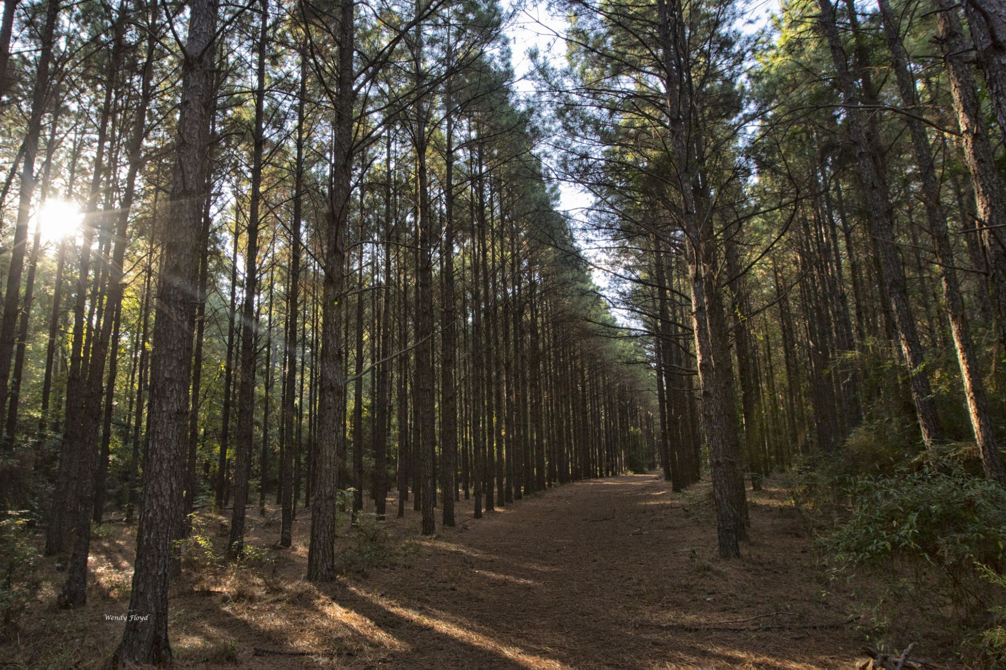 Pine Forest by WendyFloyd1