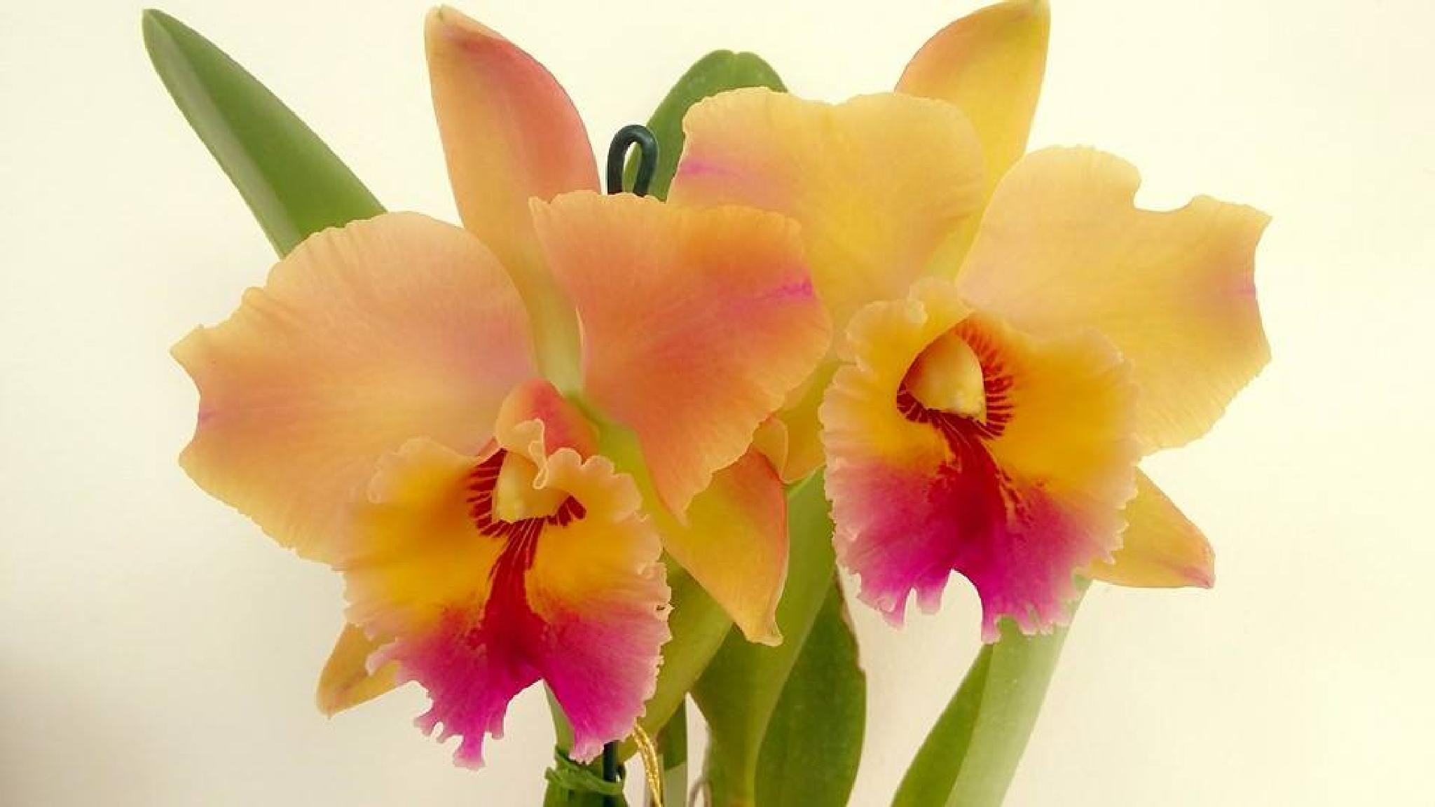 Orchid from Amélie - Boutique das Flores, Brazilian Grower. by Floricultura Amélie Flores Tatuí