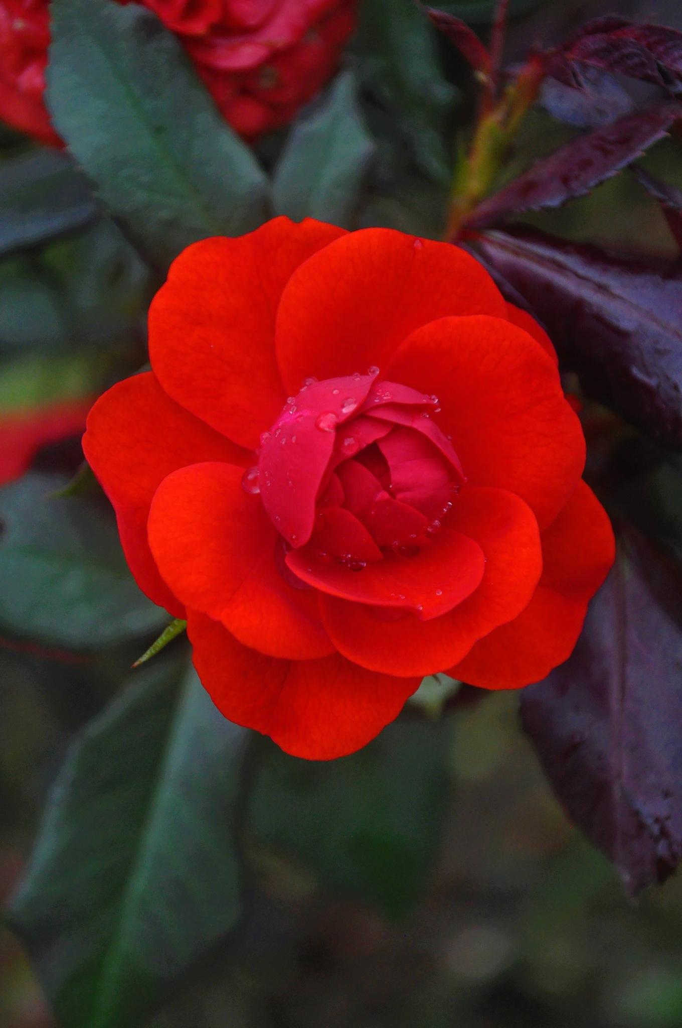Red Rose by Kishore Shetty