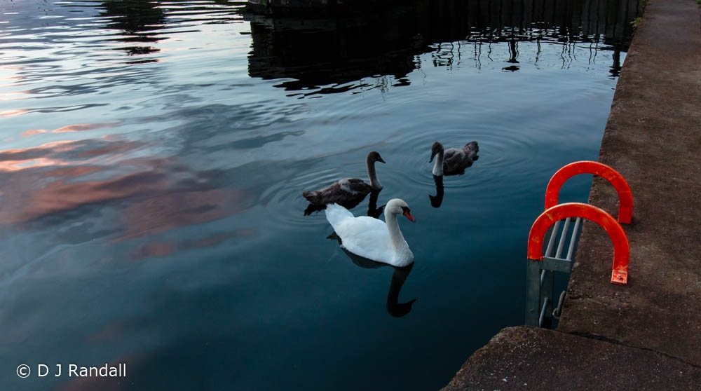 Swans on the Foss by Albatroff