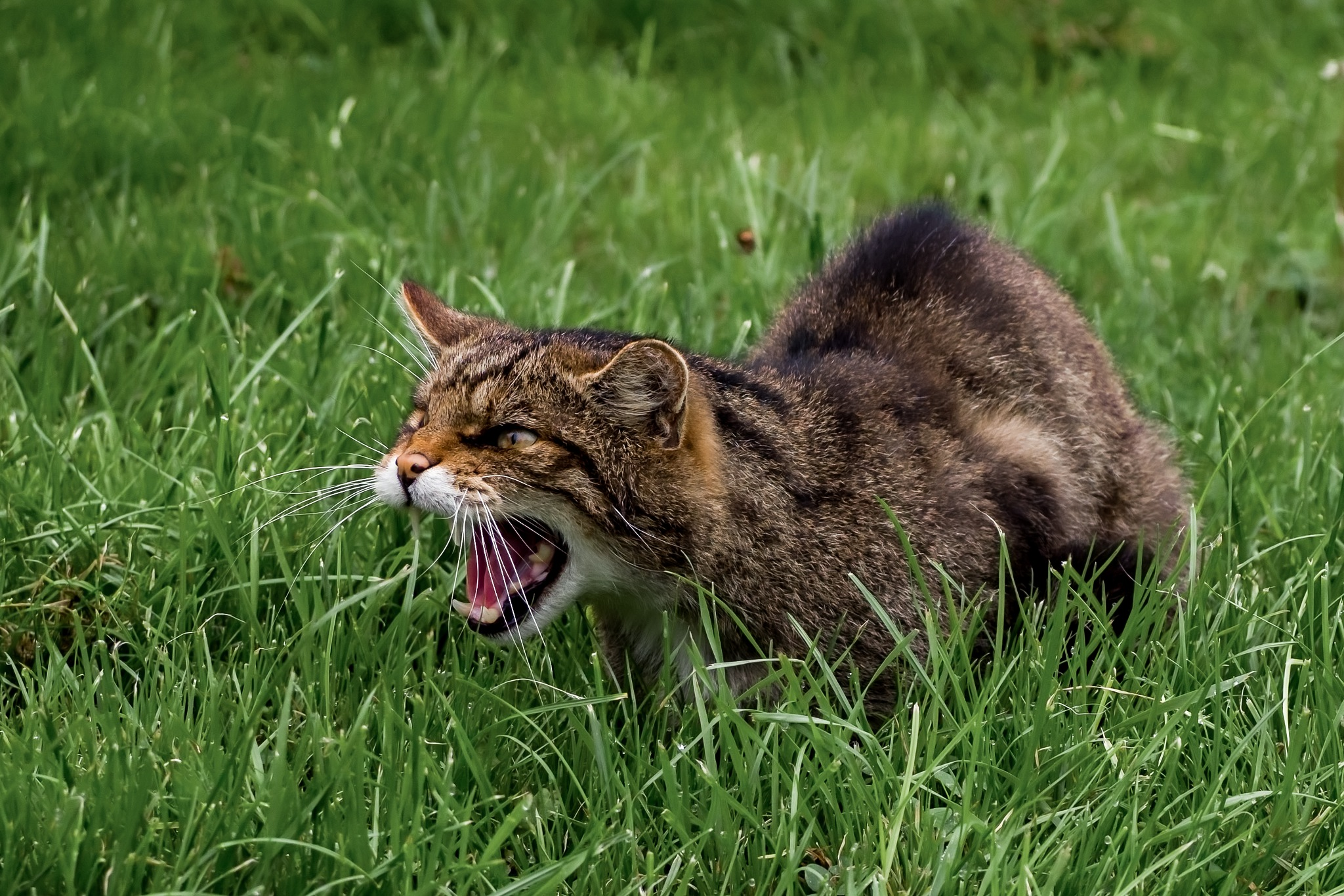 Scottish Wildcat by jan.murphy30