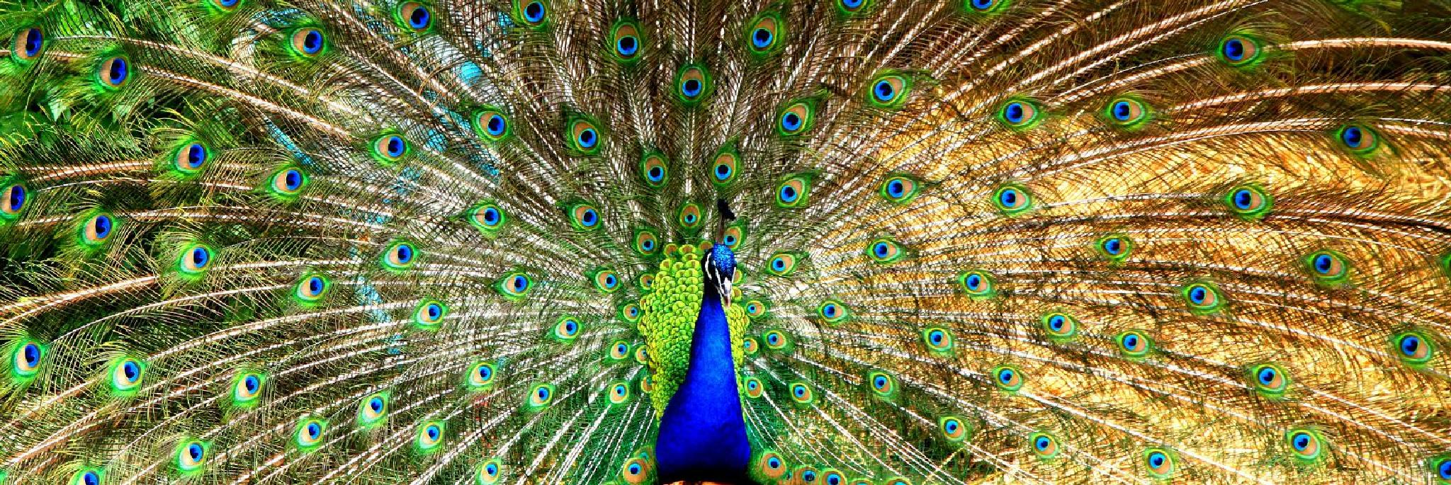 Photo in Animal #peacock