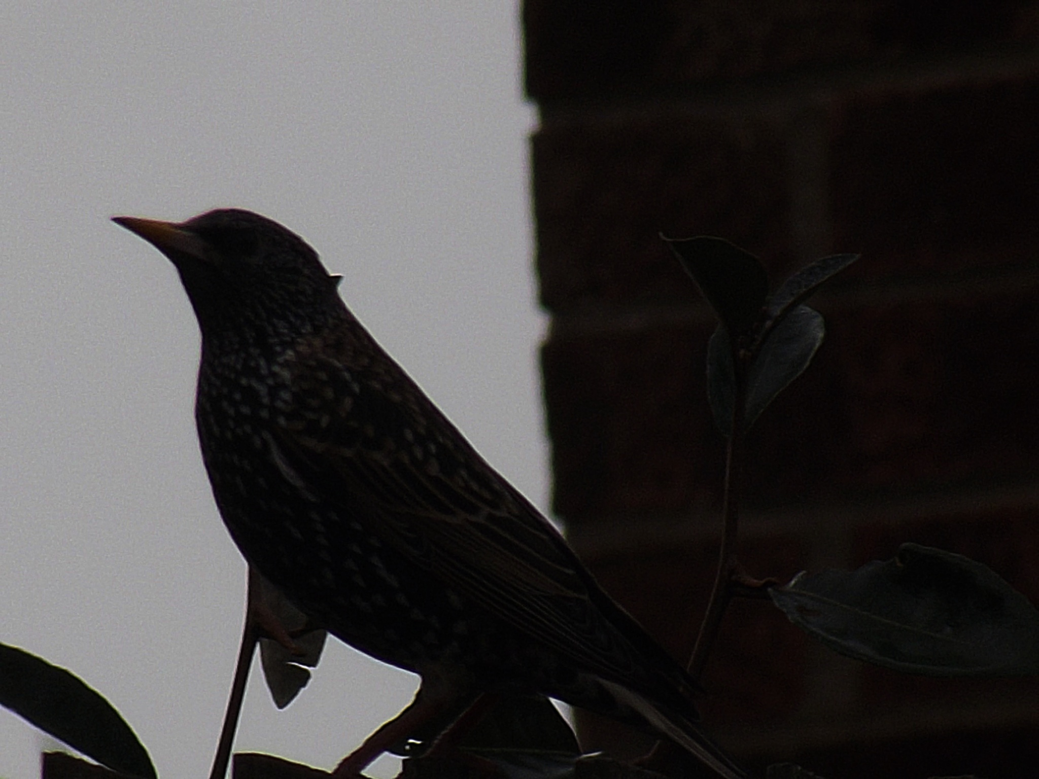 starling  by Abbie