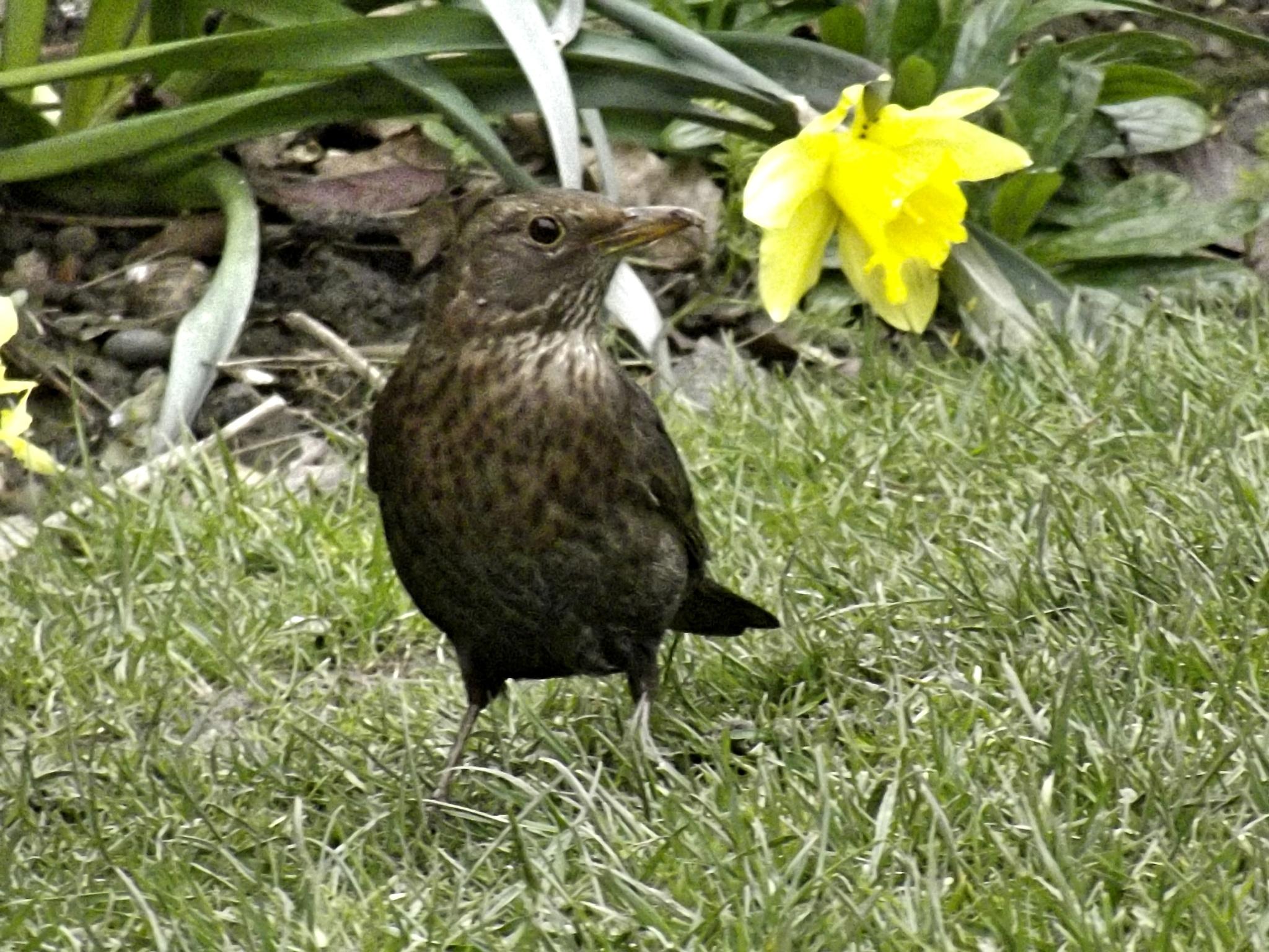 Mrs Blackbird by Abbie