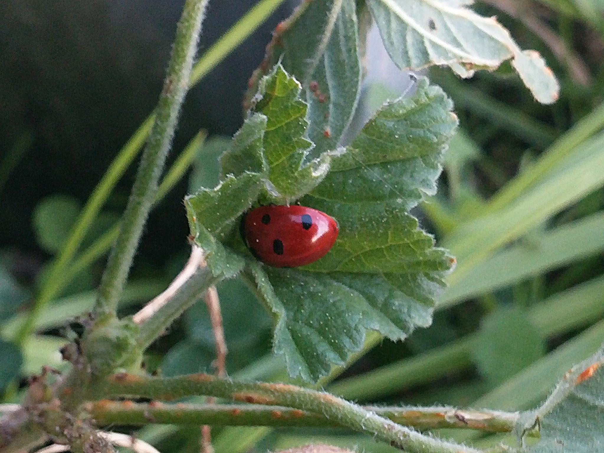 Ladybird by Abbie