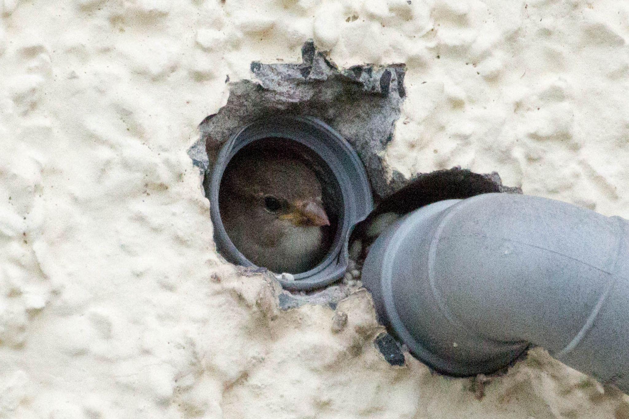 sparrows. by mrbikerjojo