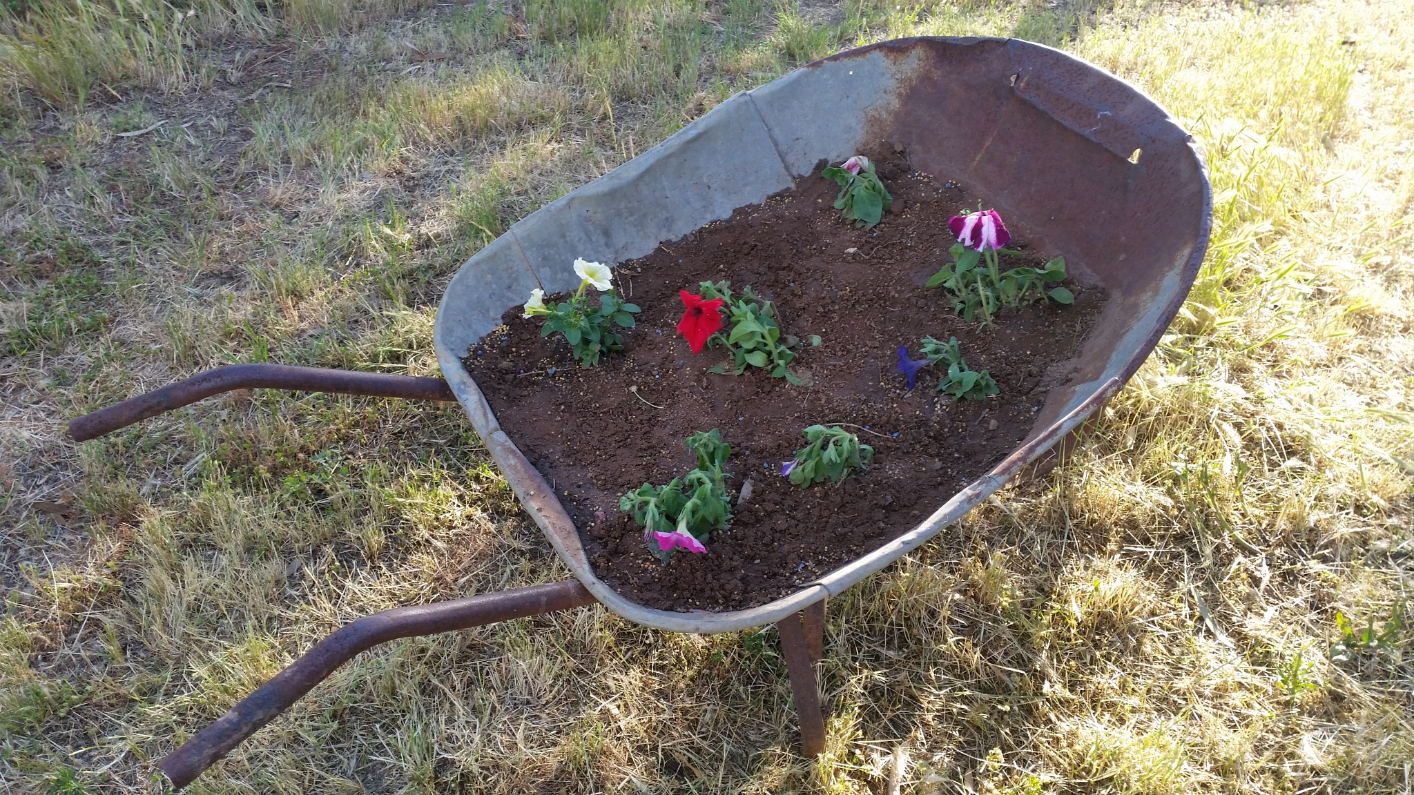 Preloved Wheel barrow with Perinals , Snap dragons, Sage and Chives. 2016 by Leica Ross