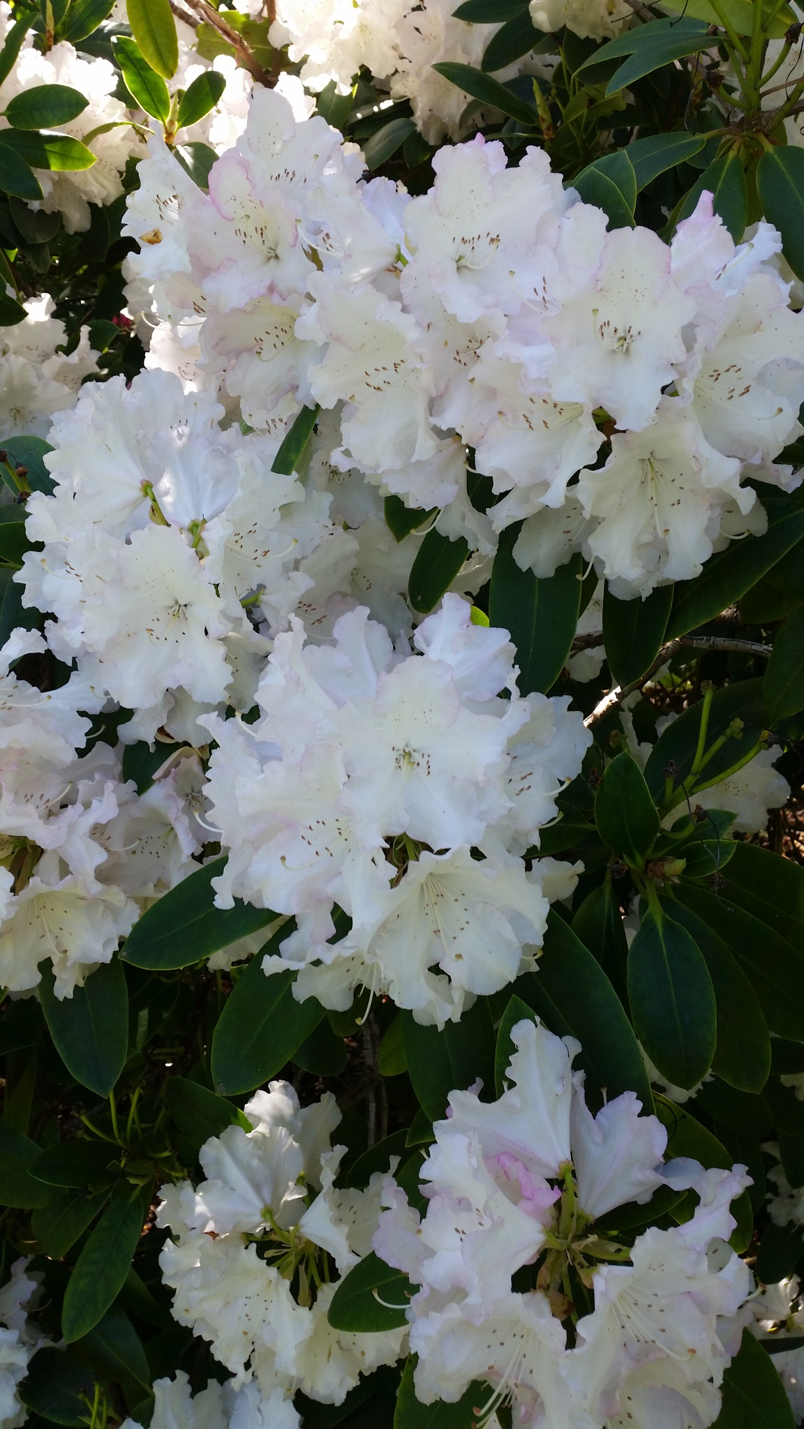 Lovely White flowers. by Leica Ross