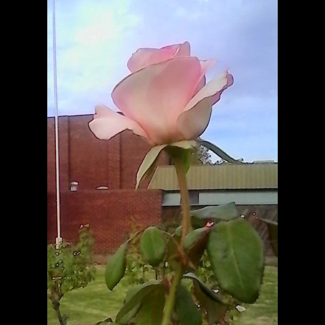 Pale Pink Rose by Leica Ross