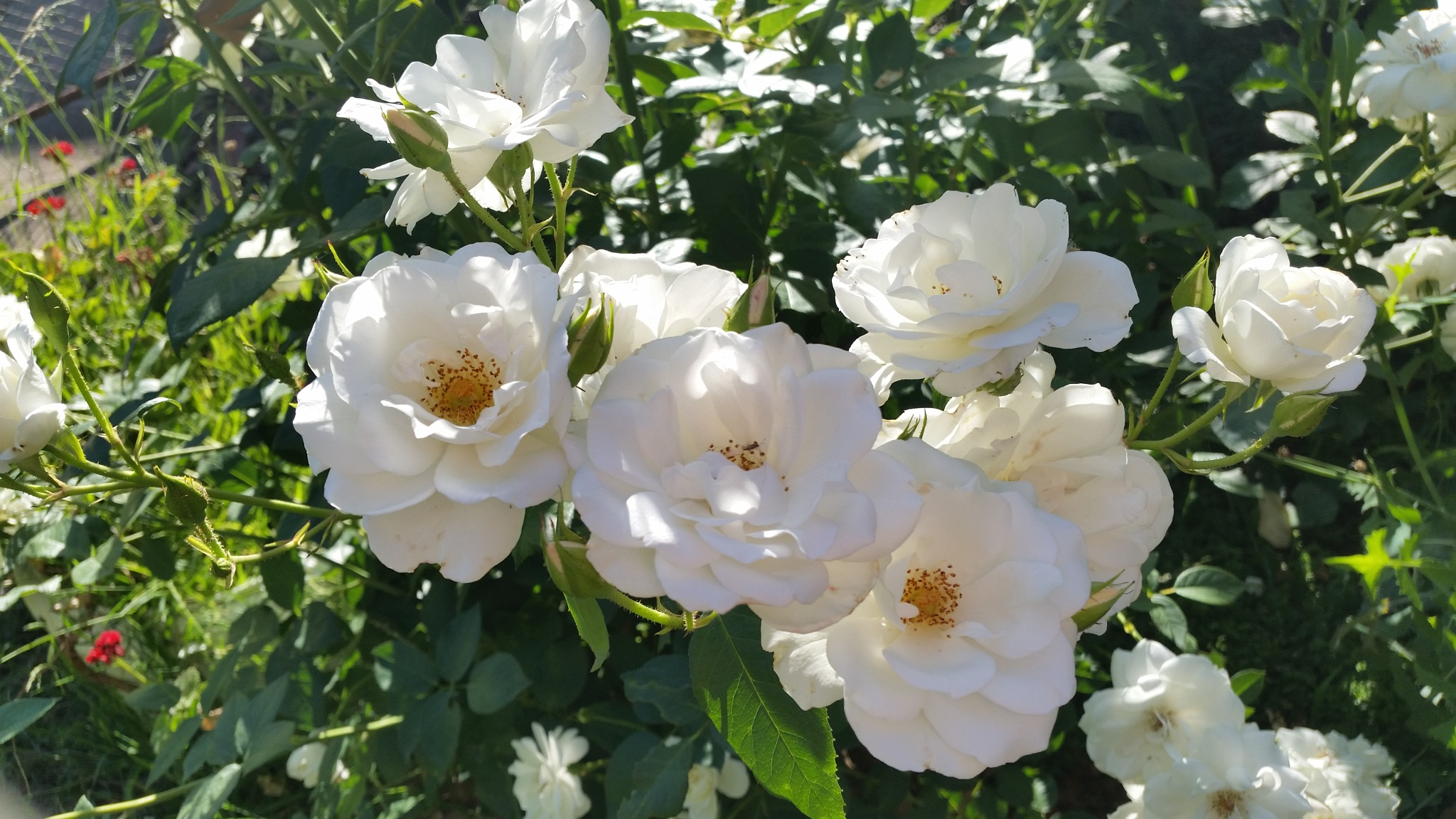 White rose's  by Leica Ross