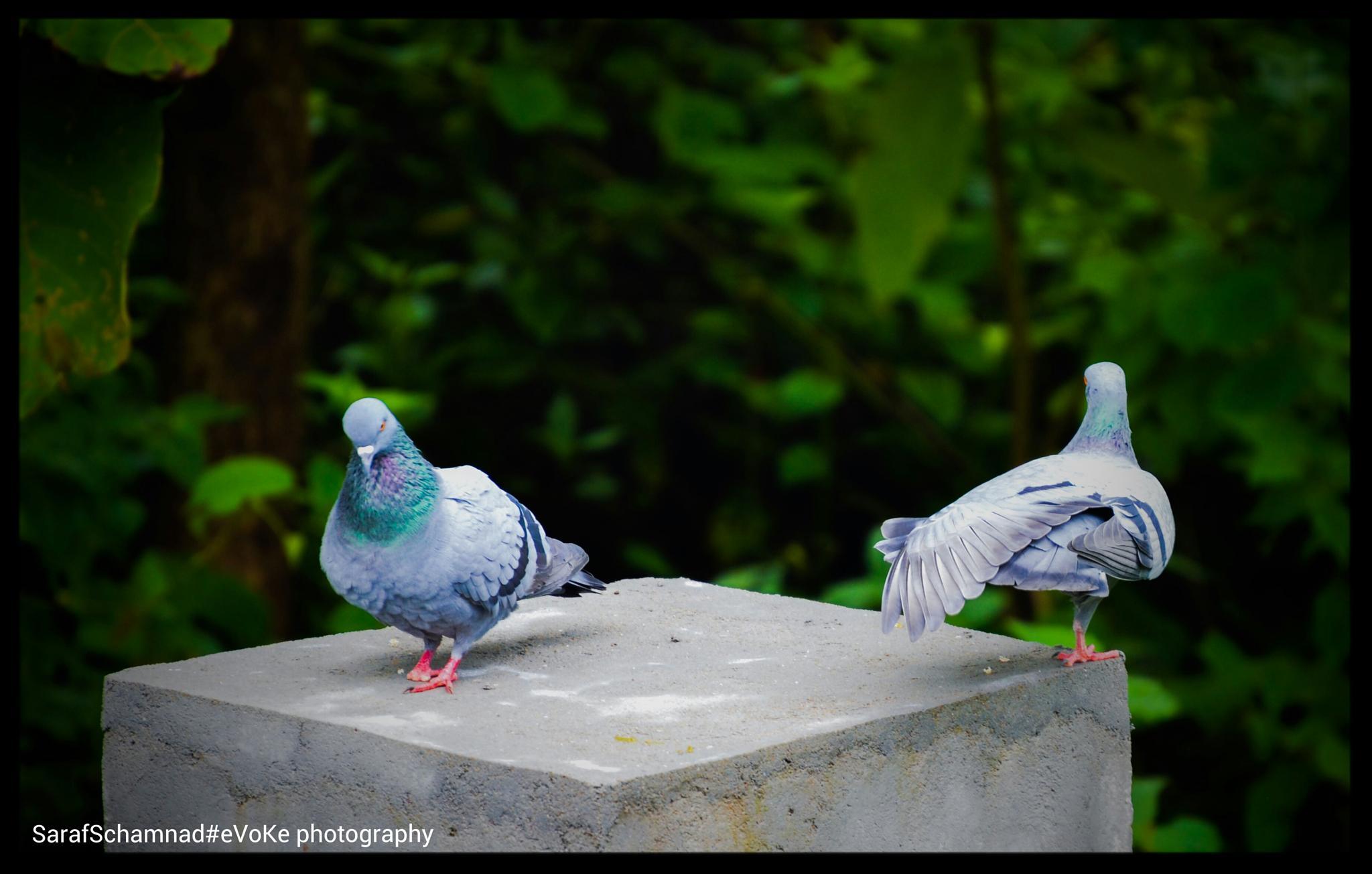 pigeons world  by SarafSchamnad
