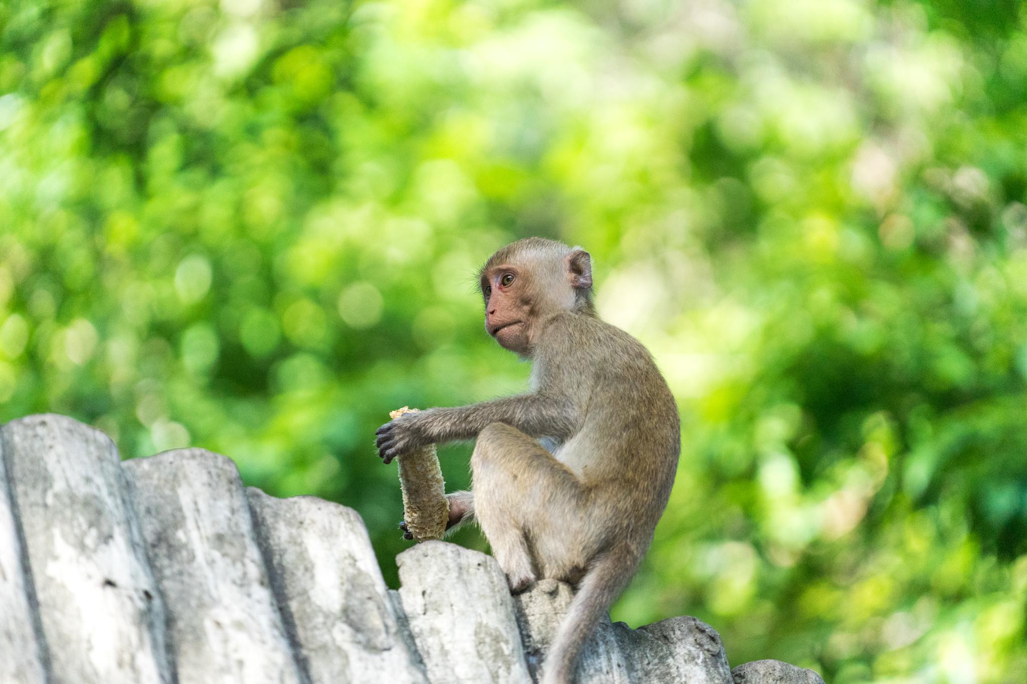 thai monkey by praphab