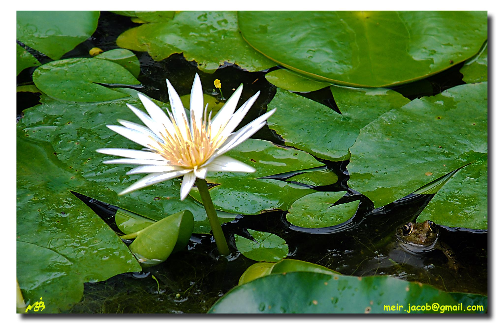 Water Lily and The Prince by Meir Jacob