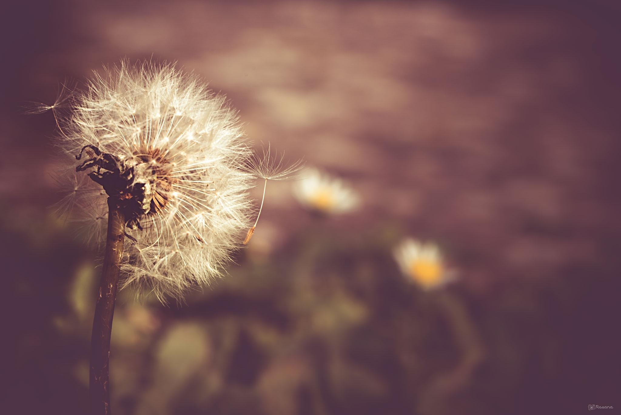 Dandelion by Rosana