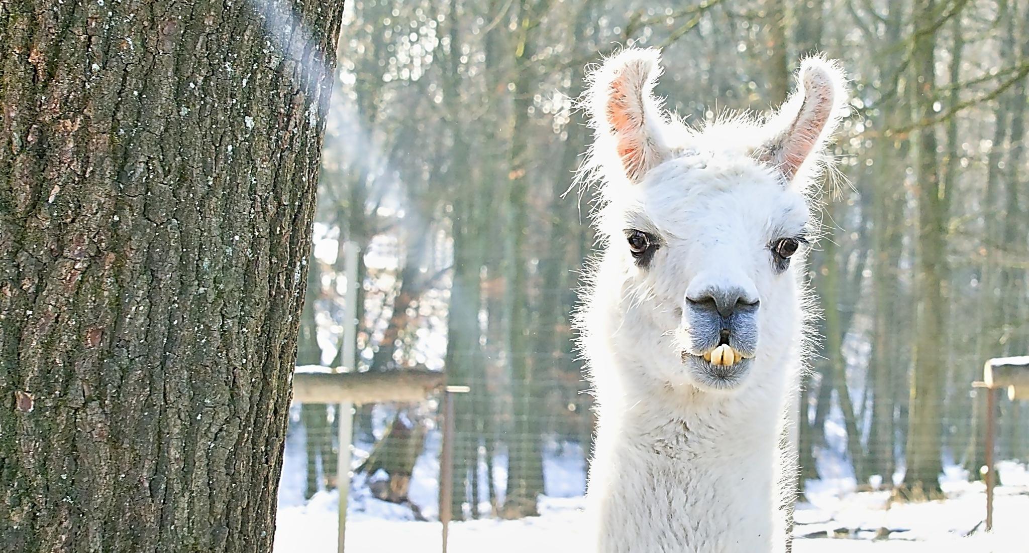 Lama by TOBE-Photography