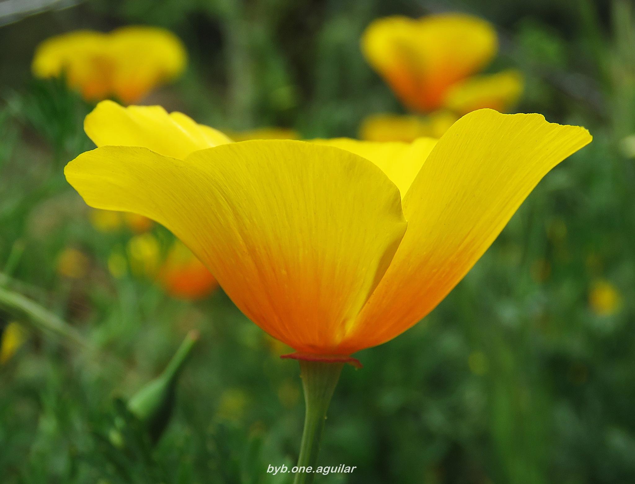 Flor silvestre dedal de oro by Byb.One_Aguilar