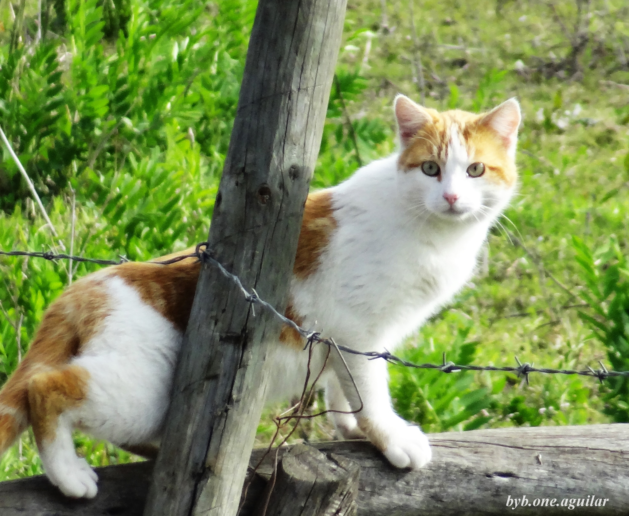 Gato de campo by Byb.One_Aguilar