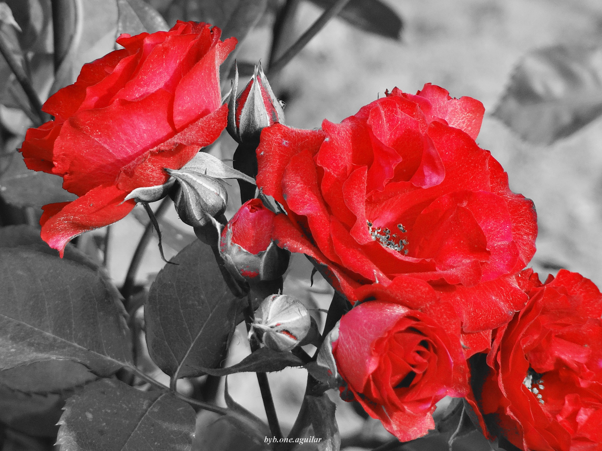 Rosas by Byb.One_Aguilar