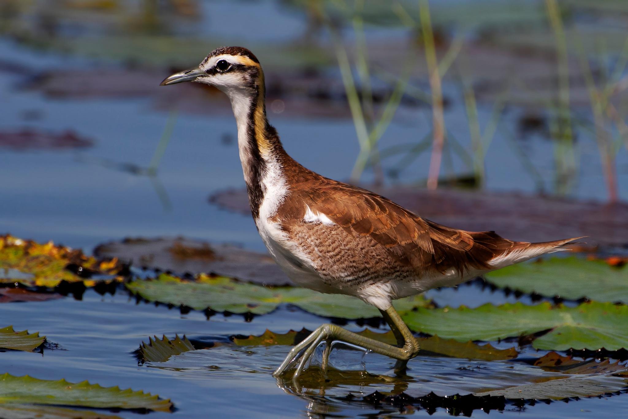 Pheasant tailed Jacana - Non Breeding by Oriole