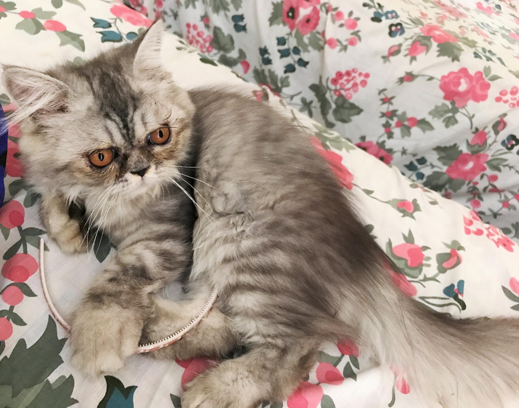 The Gollum Kitten by Liya Fahu