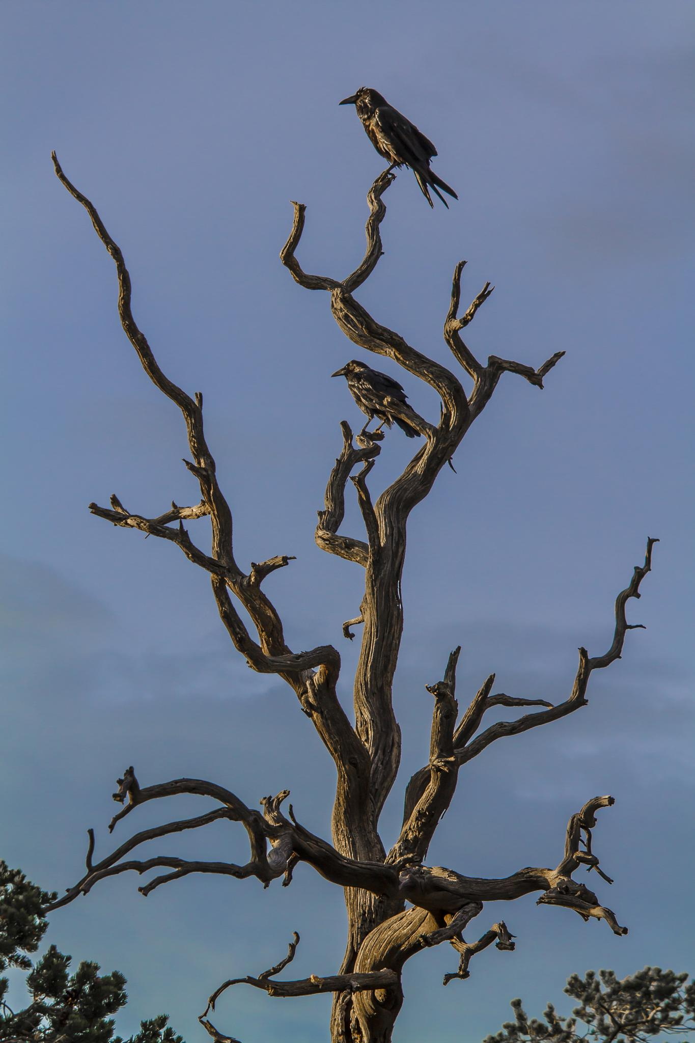 Crows by benzo