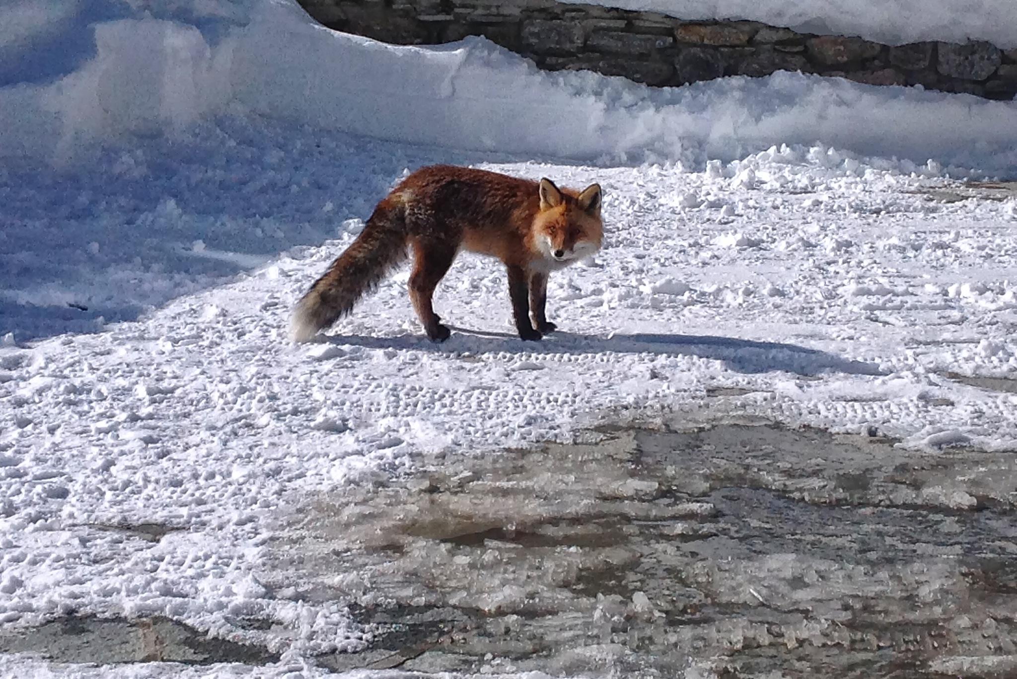 hello fox by sunrisesunset