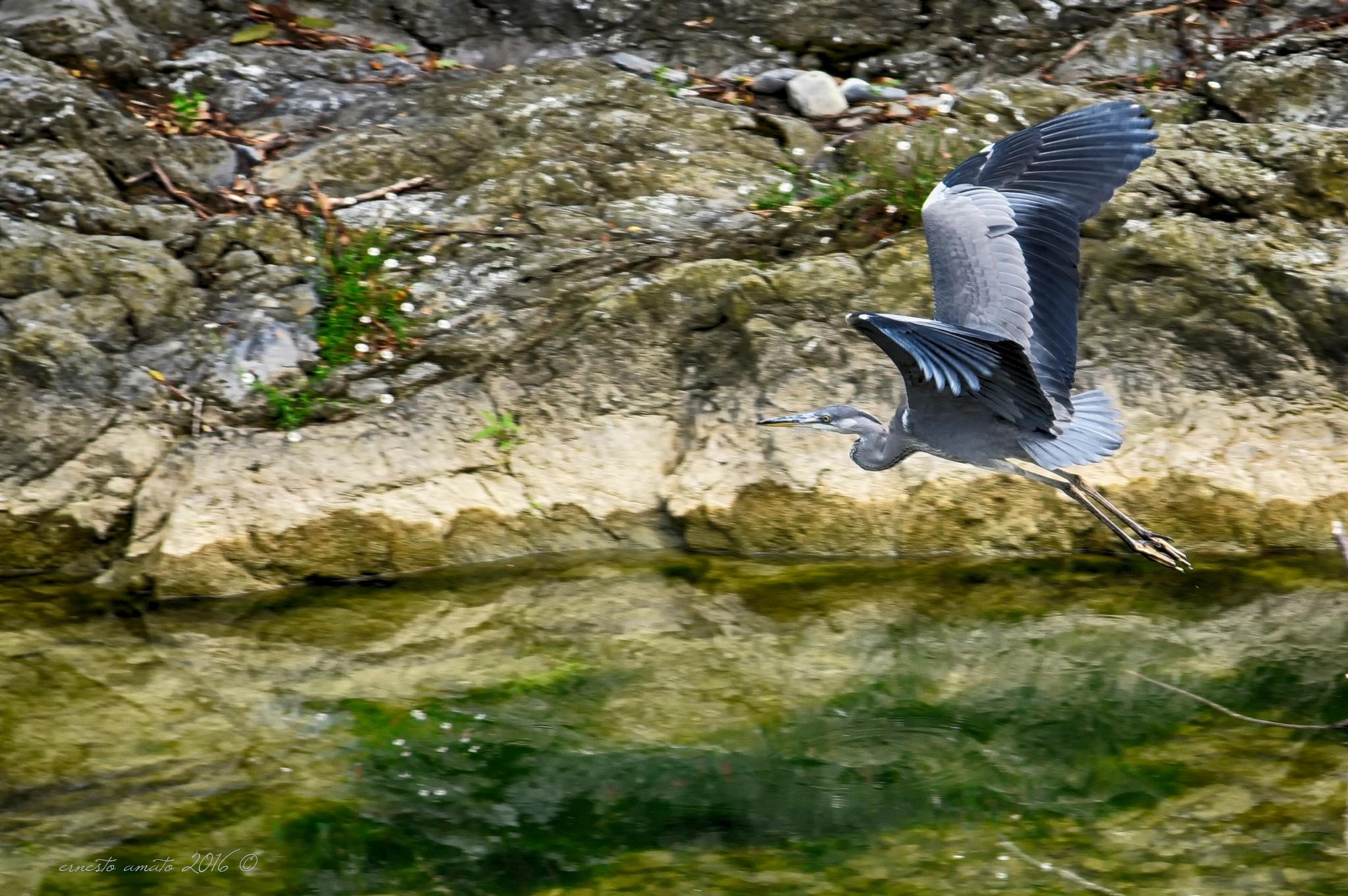 the heron flight by sunrisesunset