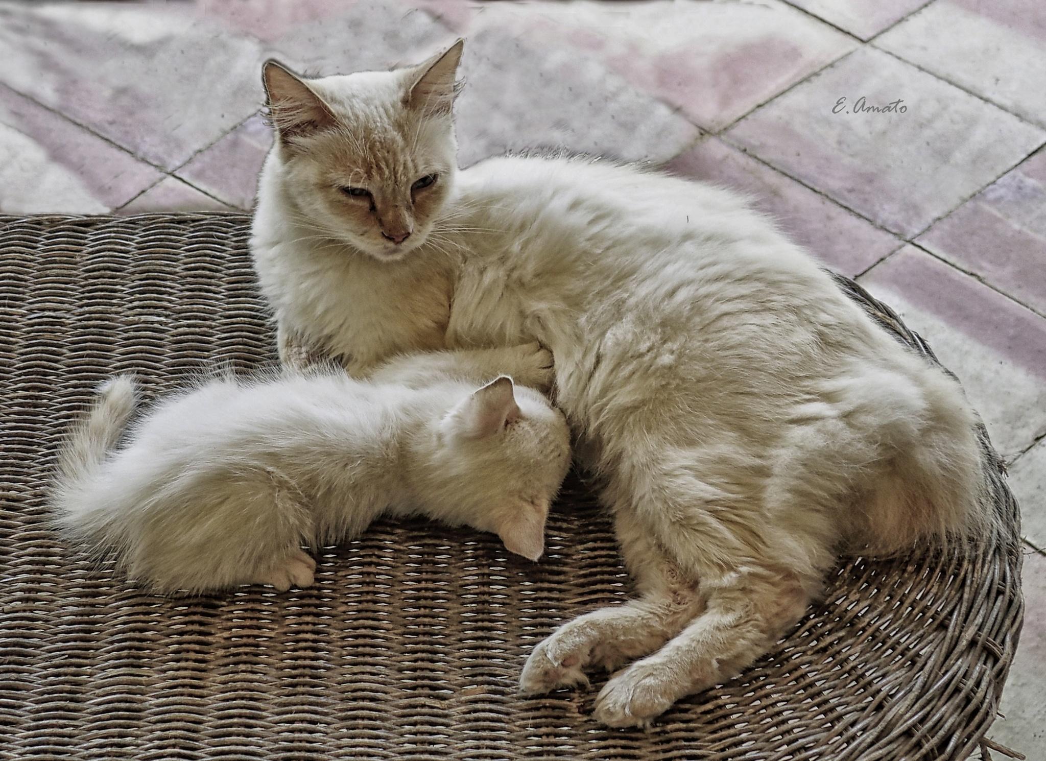 mama cat by ernesto amato
