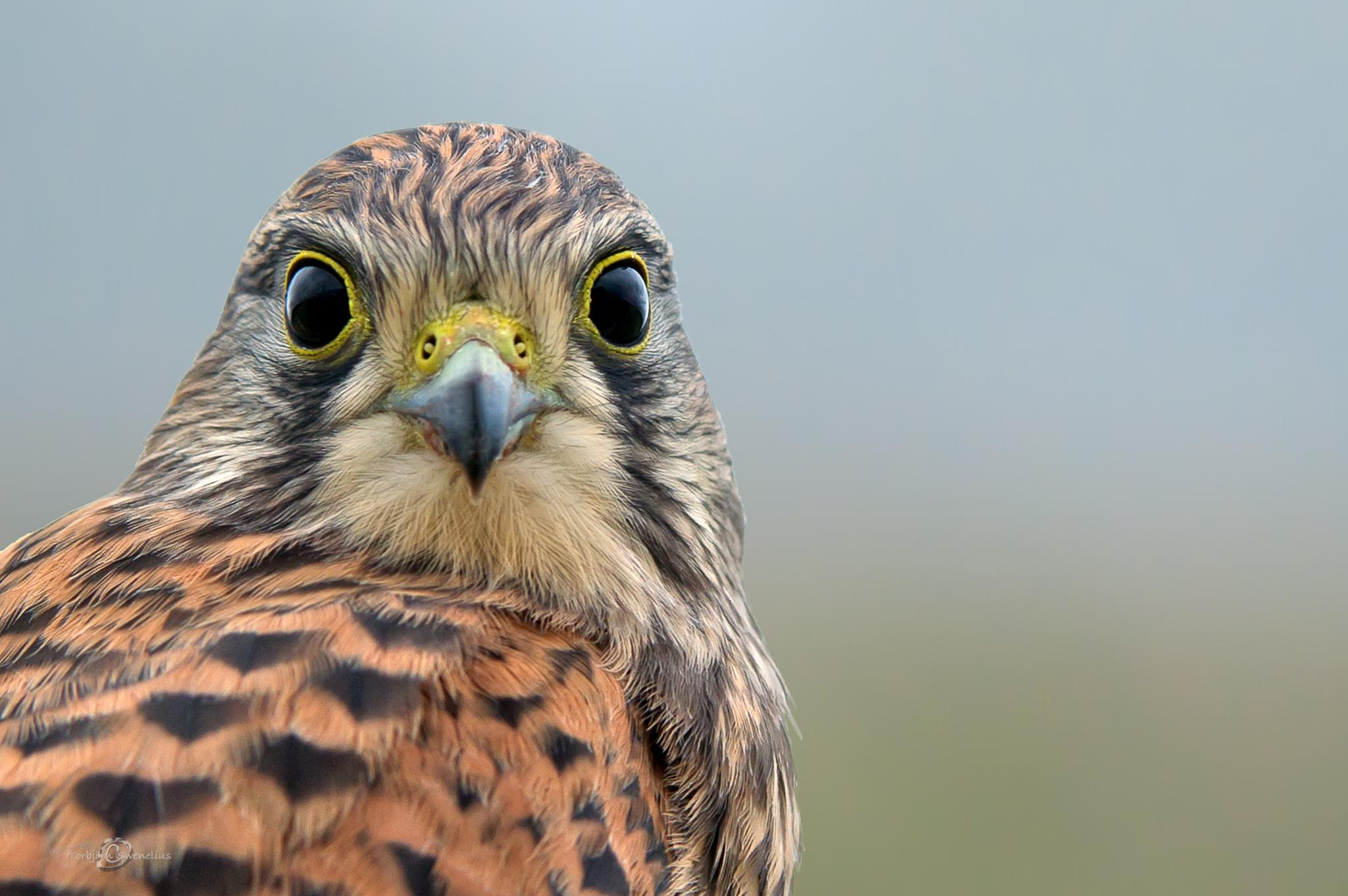 Kestrel, the juvenile, face to face by torbjorn.swenelius