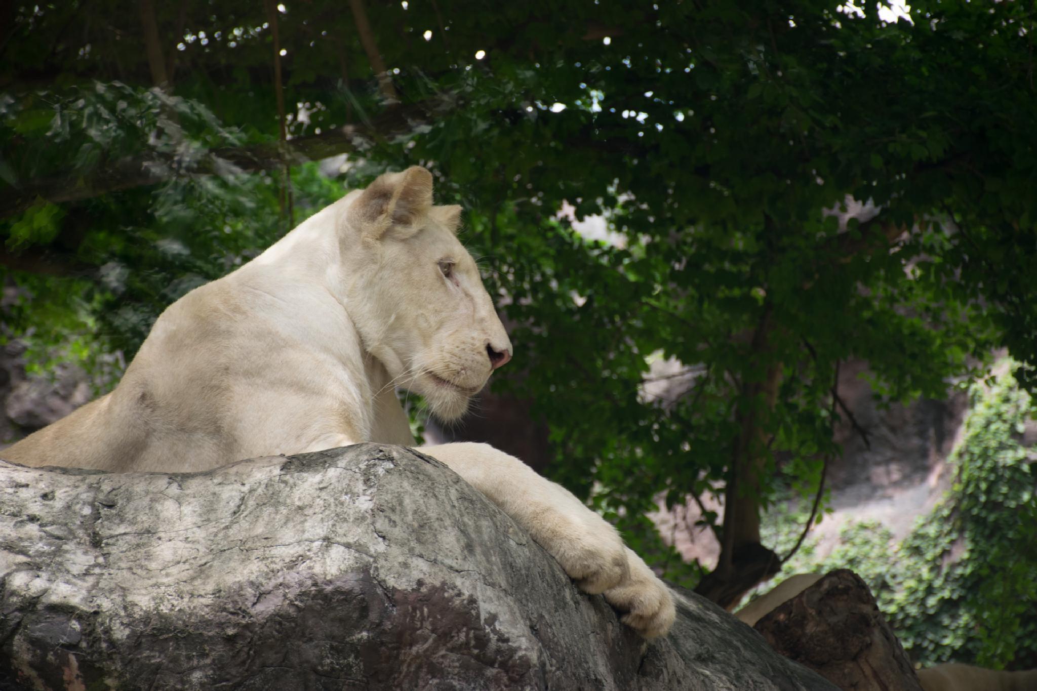 Lion at Dusit park by Jade aHa
