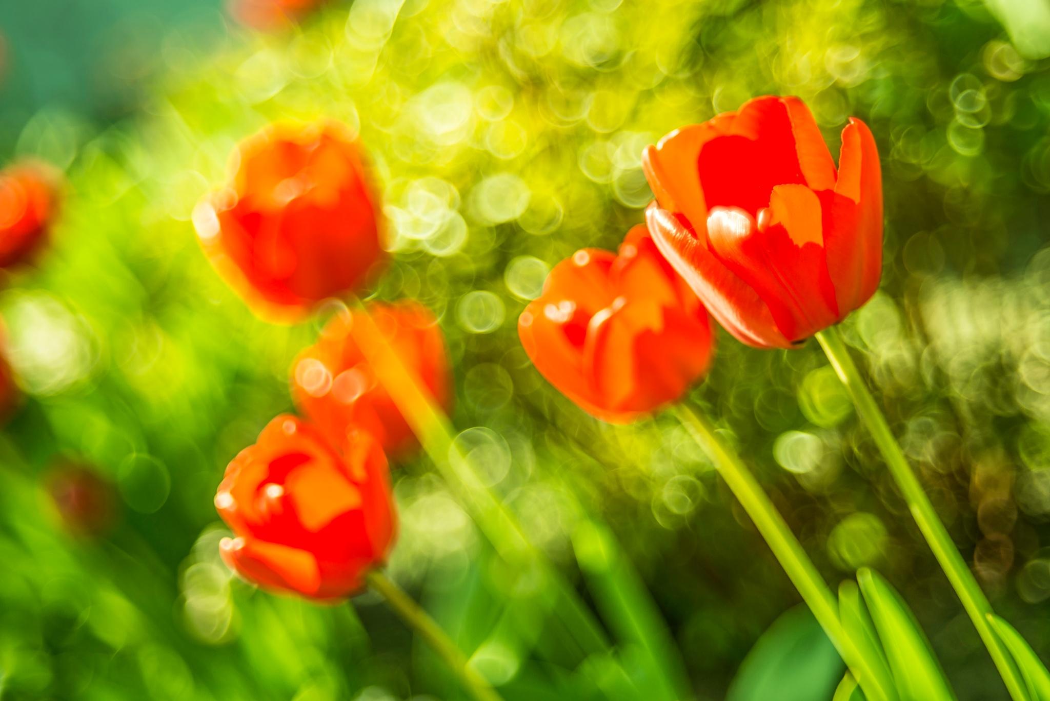 Tulips by Jaroslaw Grudzinski