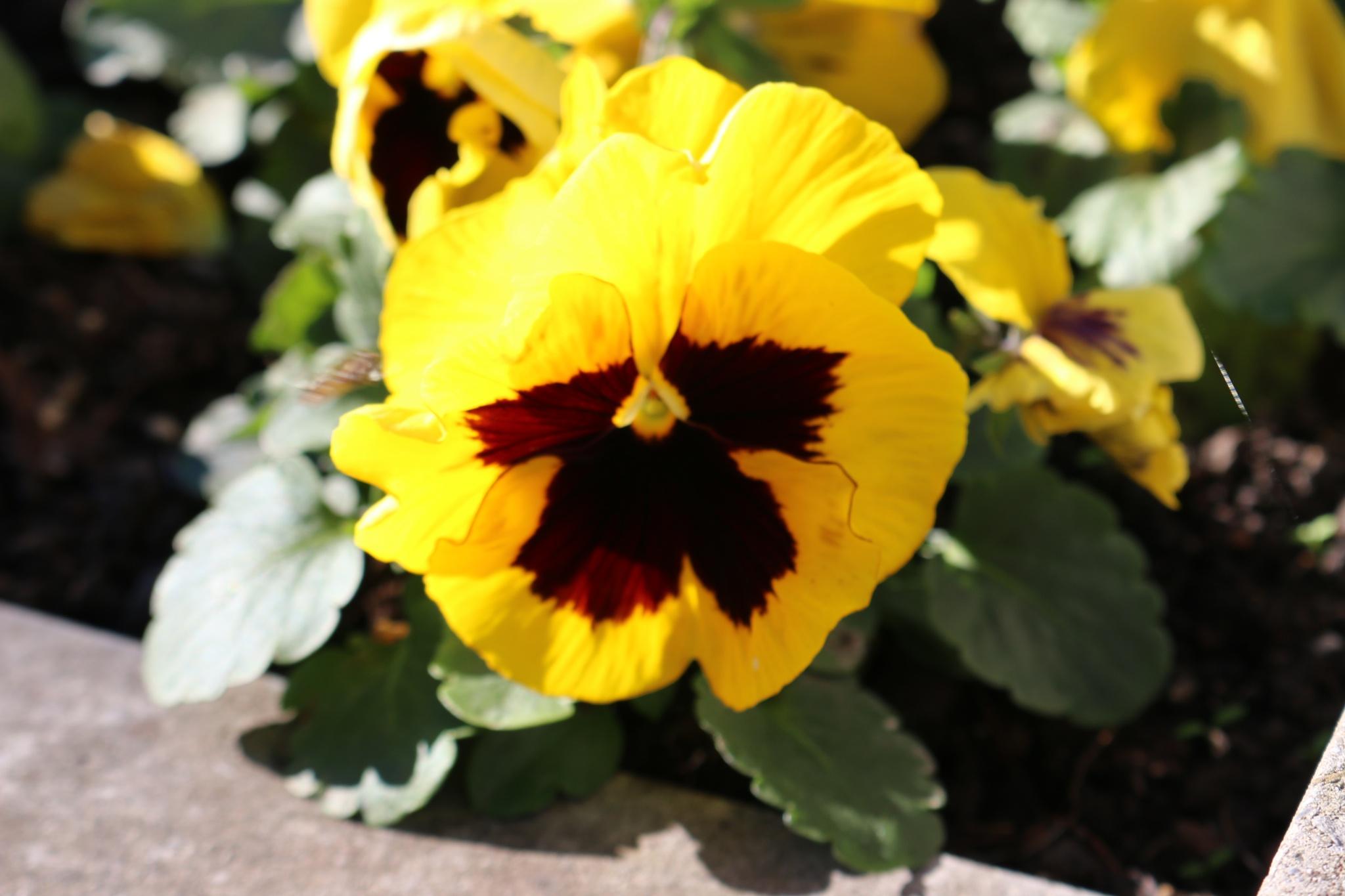 Flor amarela by lucihalves