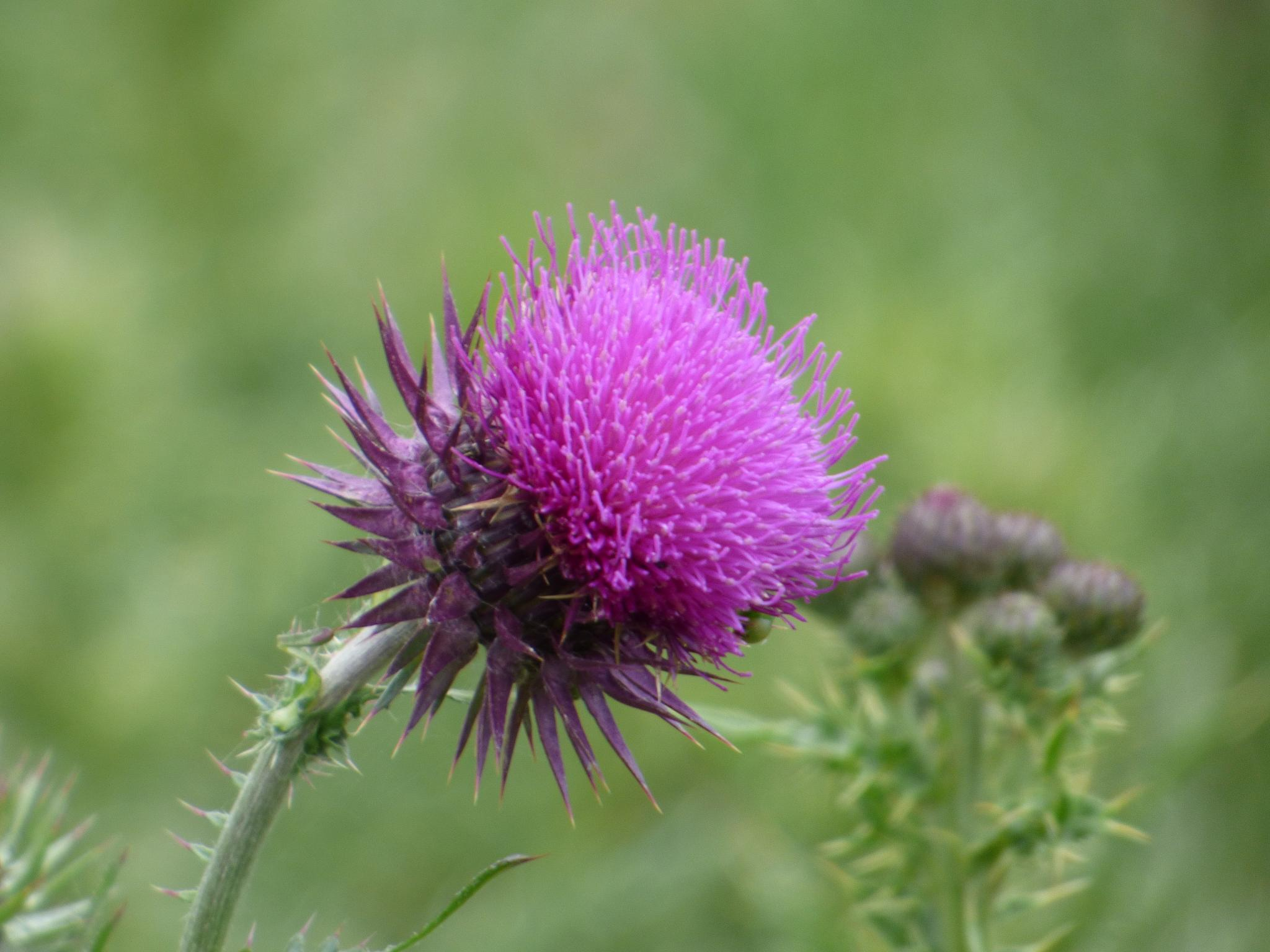 Thistle by Foxy