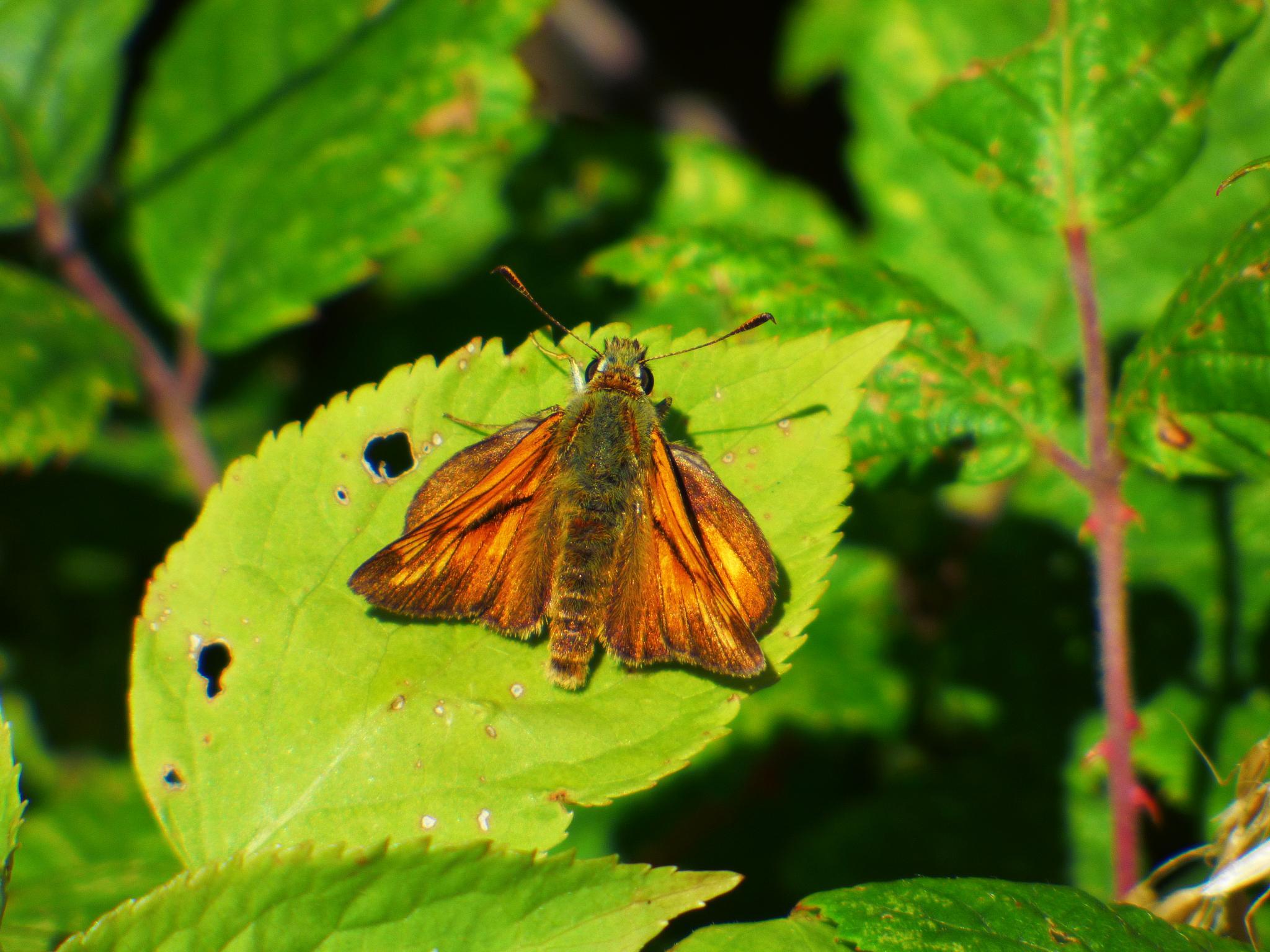 moth by Foxy