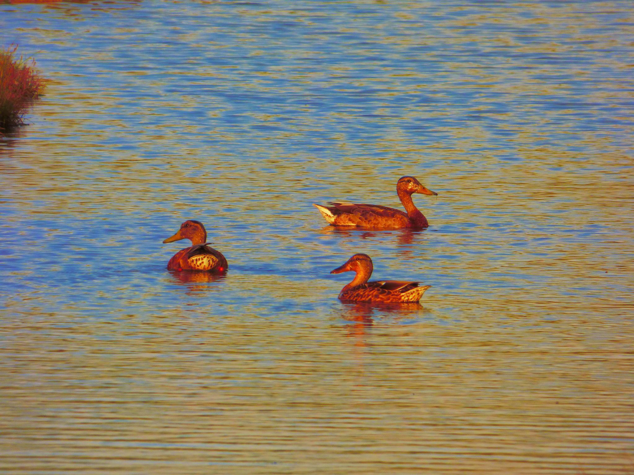Photo in Random #ducks #river #water