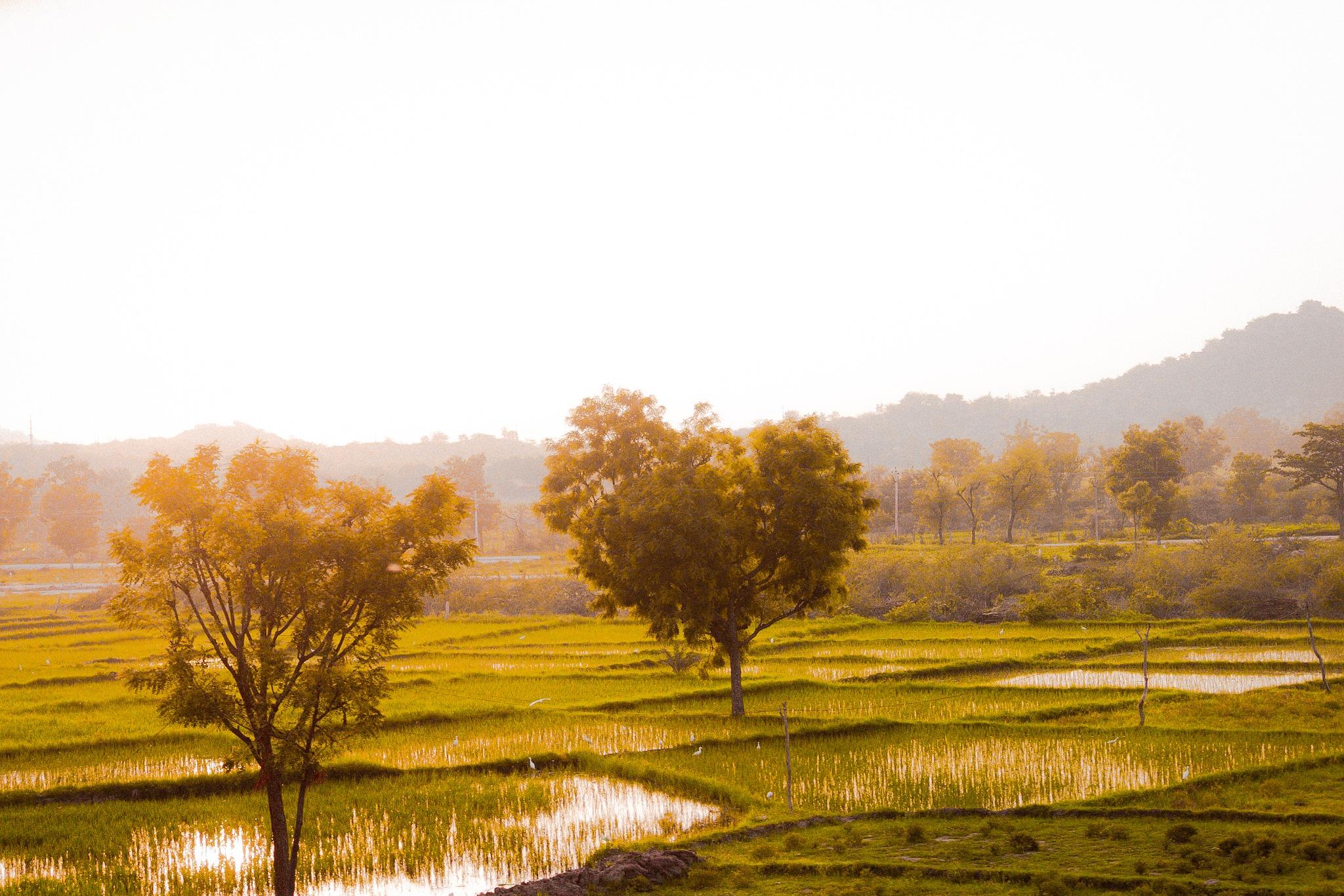 Paddy Fields by HarishKumar44
