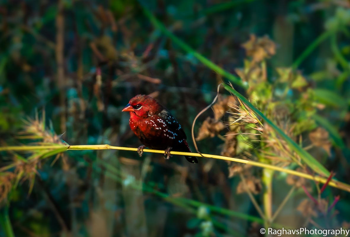 Red Pose by Raghavendra Joshi