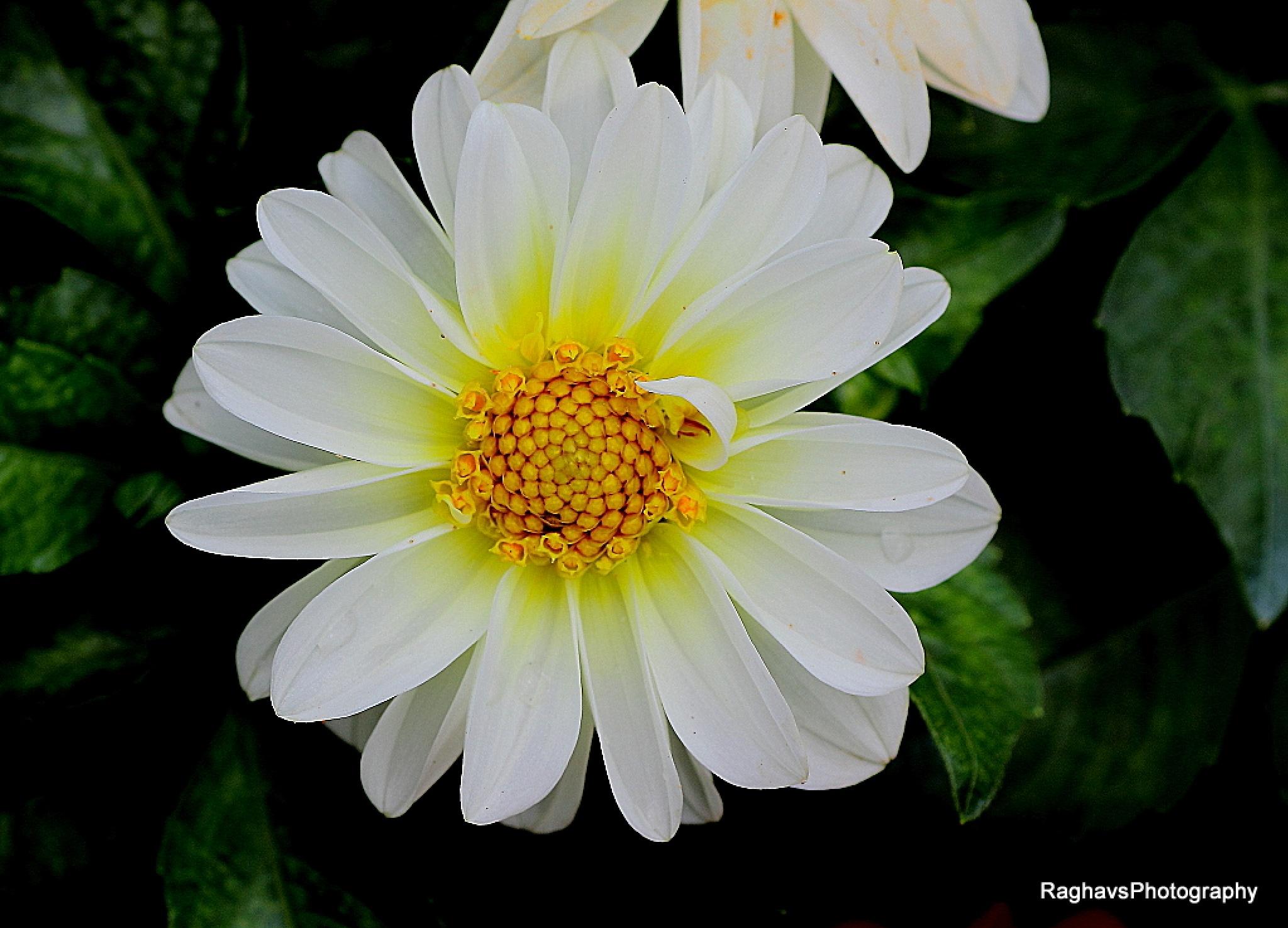 White Greeting by Raghavendra Joshi