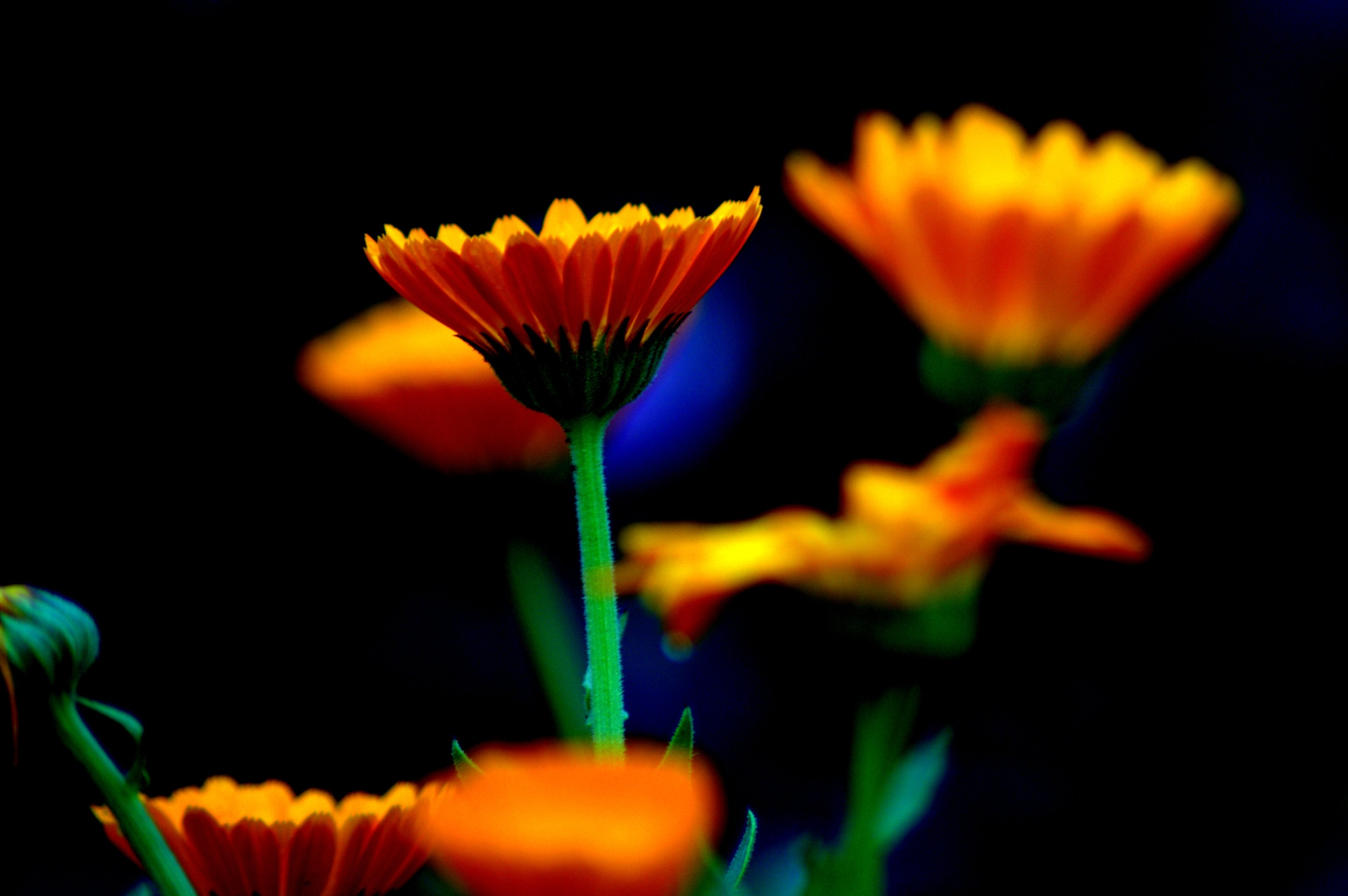 Orange flower1 by Saravanan Veeru