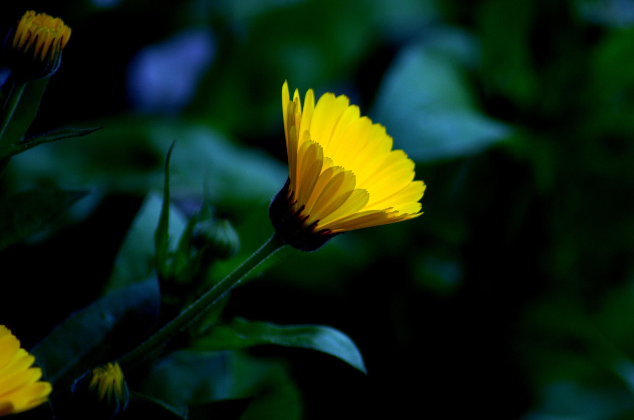 yellow flower by Saravanan Veeru