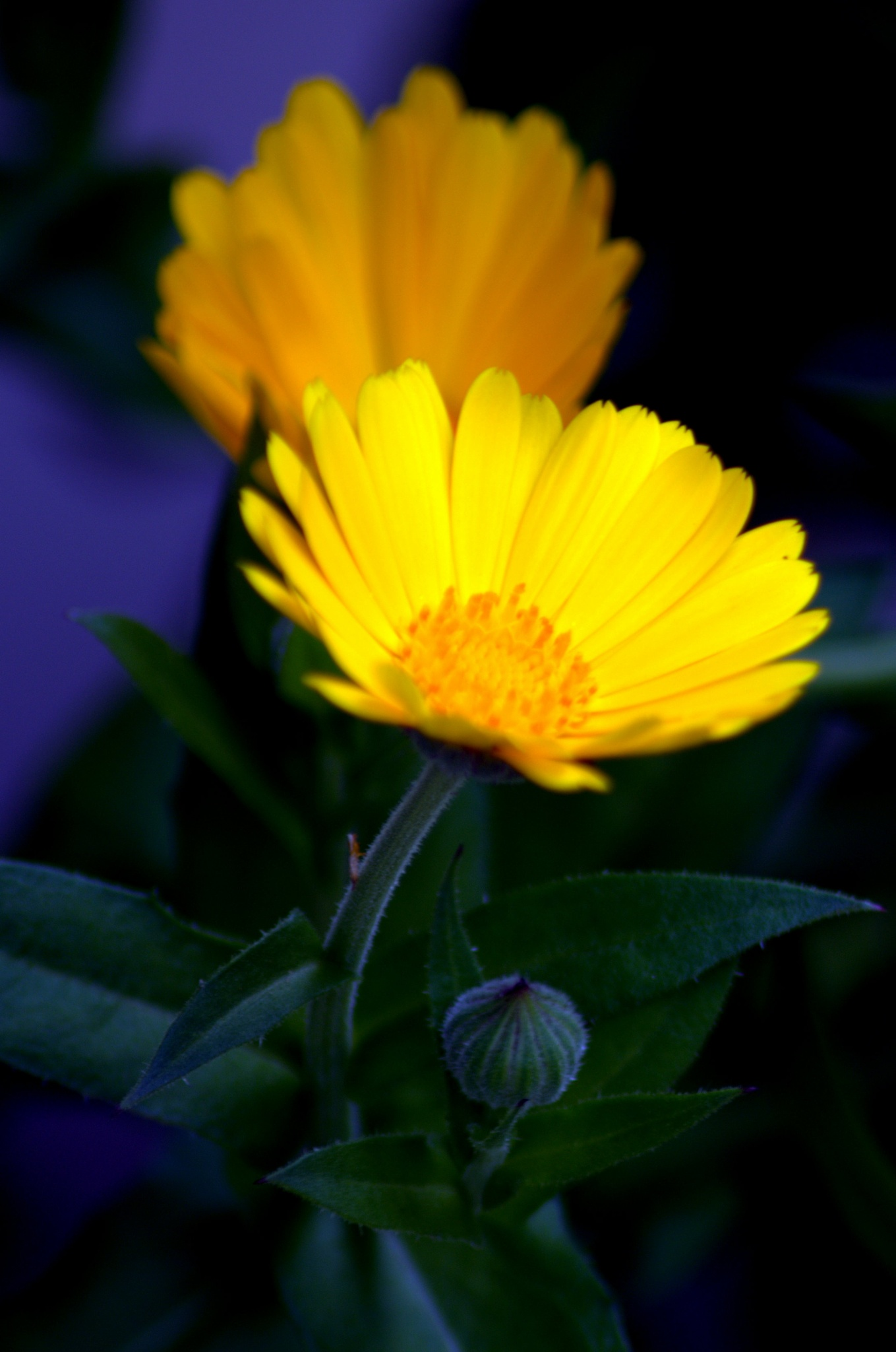 yellow flower1 by Saravanan Veeru