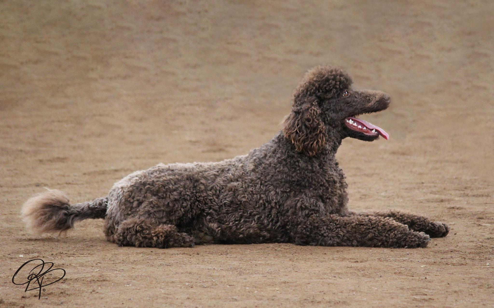 Poodle by ordinaryripple