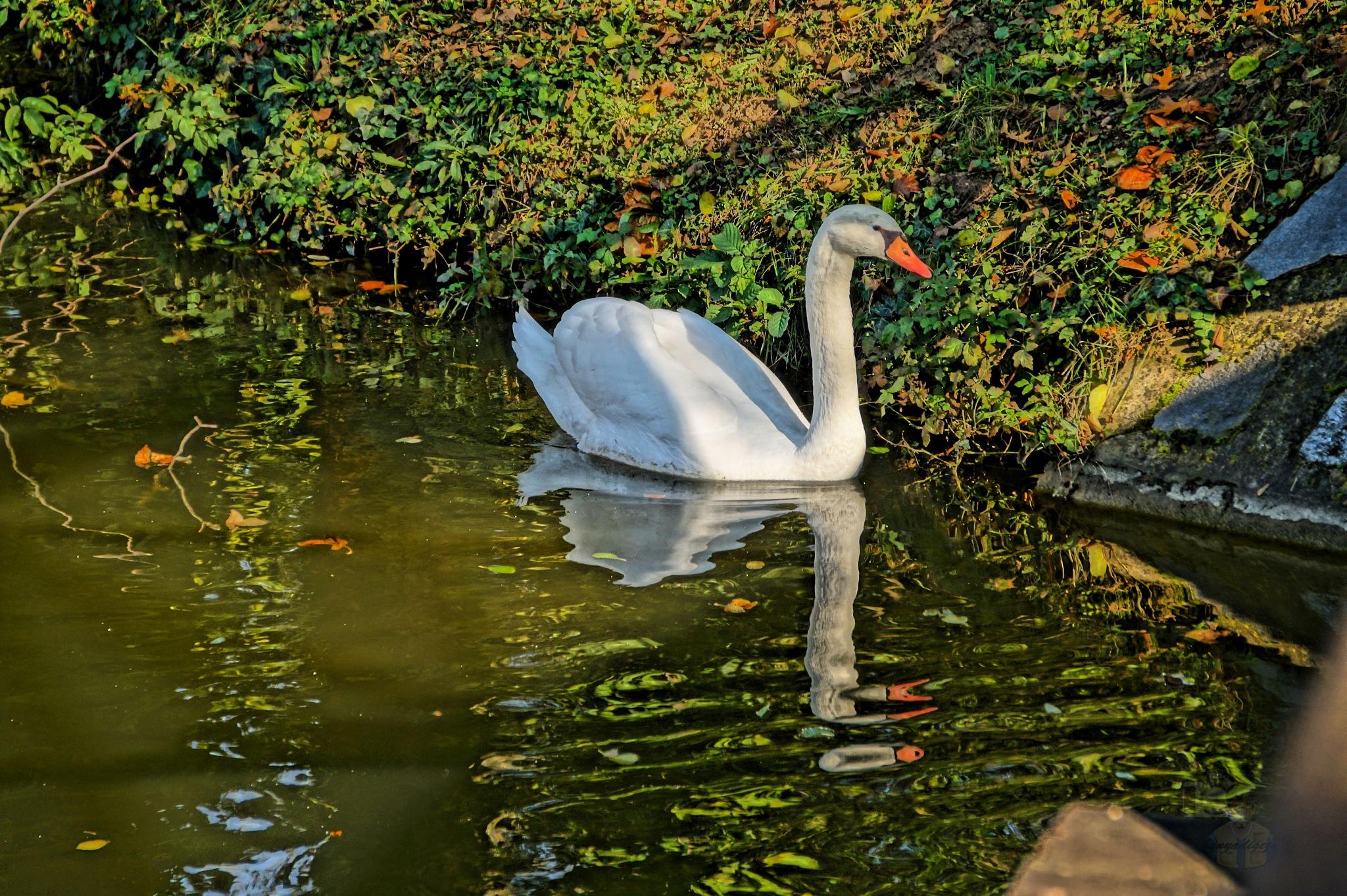 Oct.23, swan in park HDR by hunyadigeza