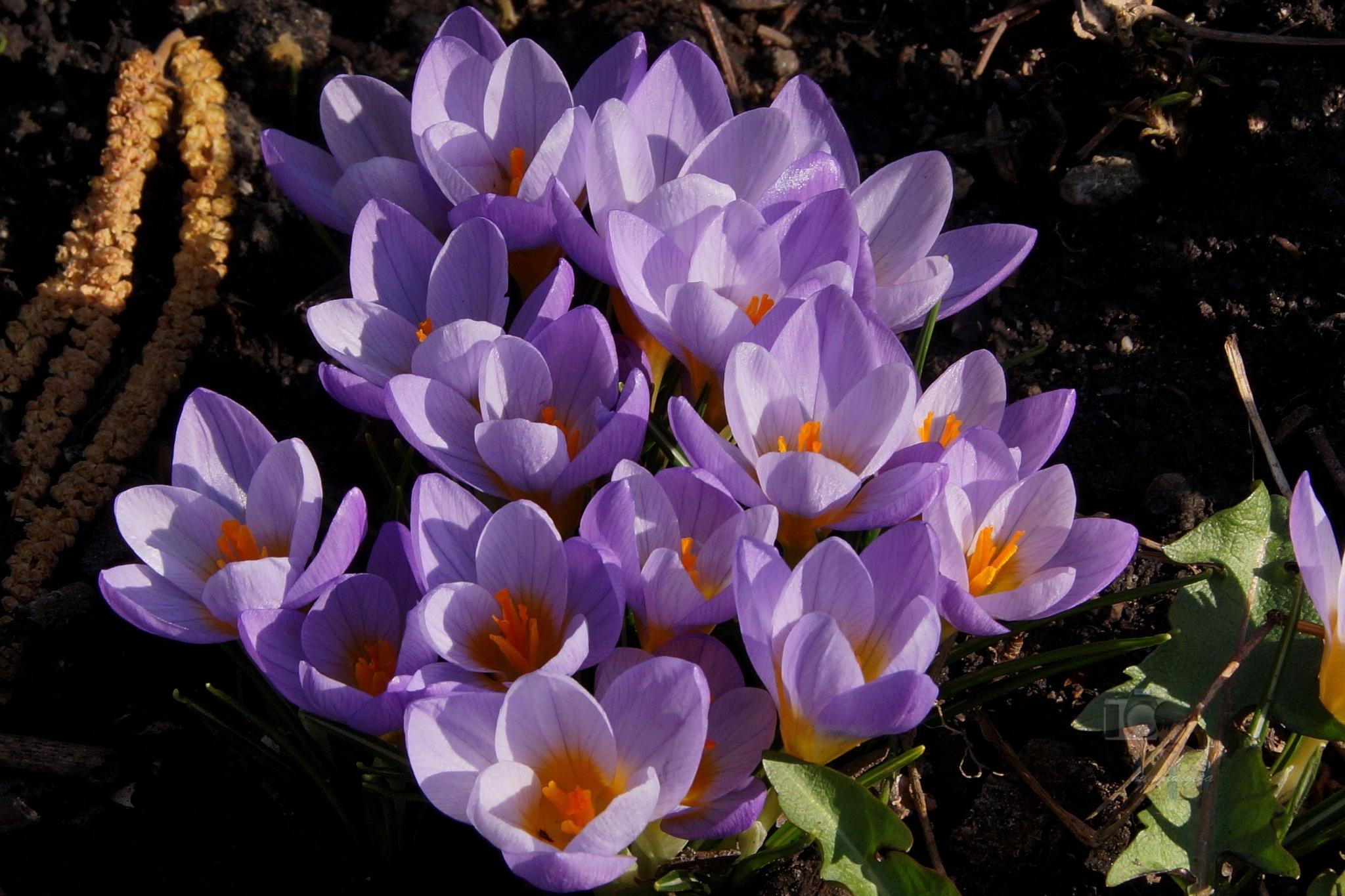 Mar.17, purple crocuses by hunyadigeza