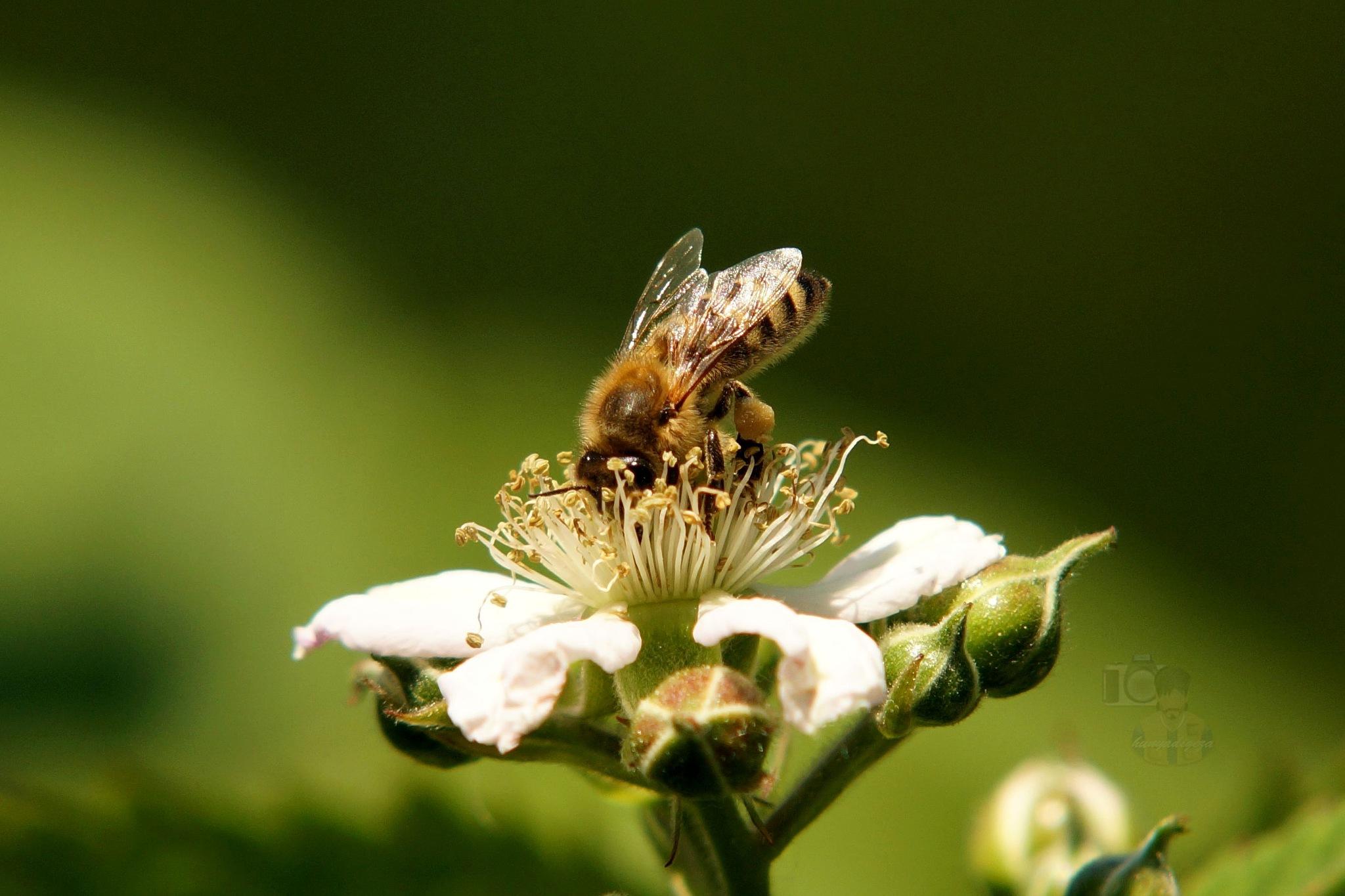 the honeybee in work by hunyadigeza