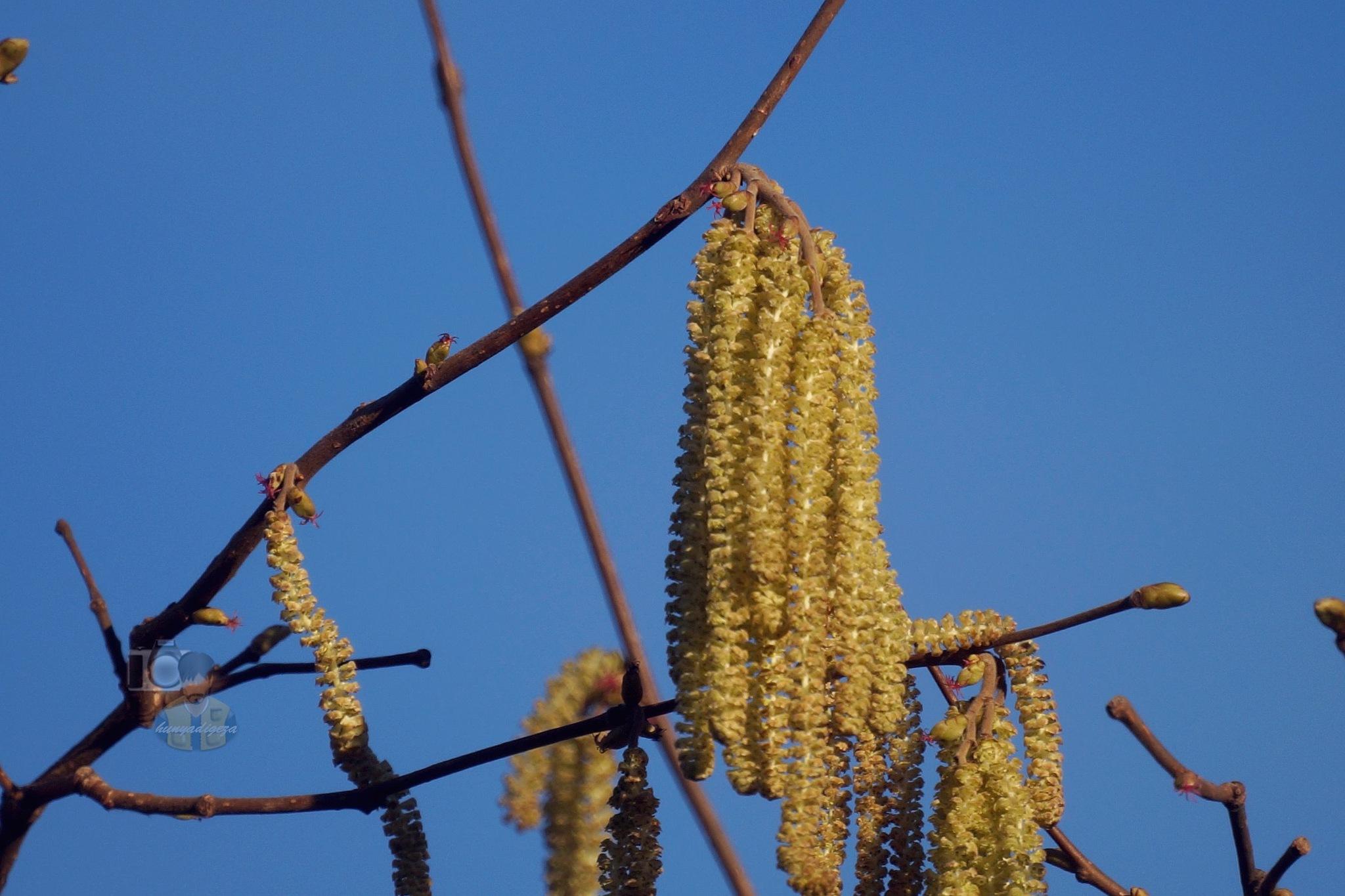 Mar.01, hazelnut tree blossoms by hunyadigeza