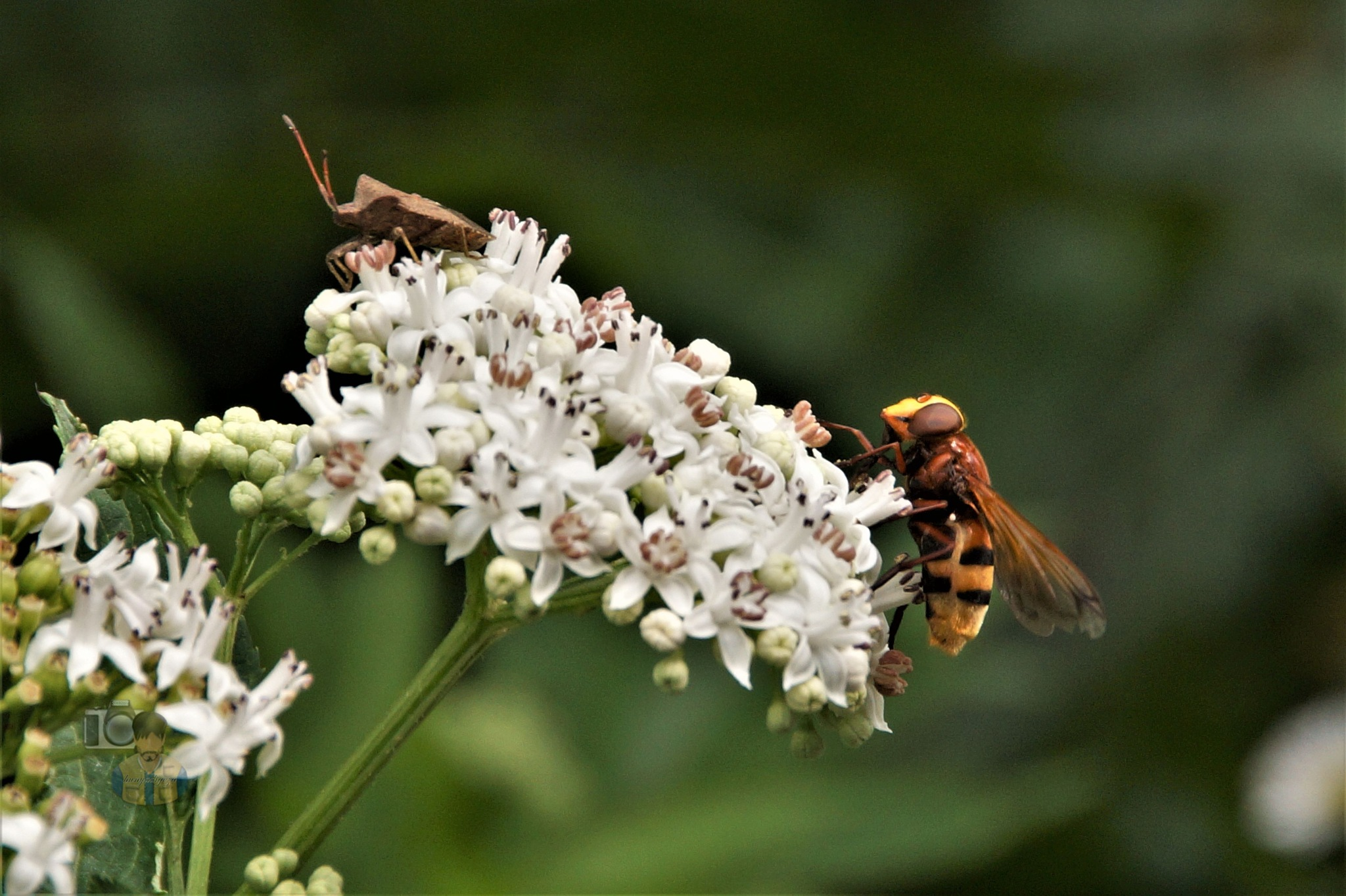 July 16, the hornet mimic hoverfly and the dock bug  by hunyadigeza