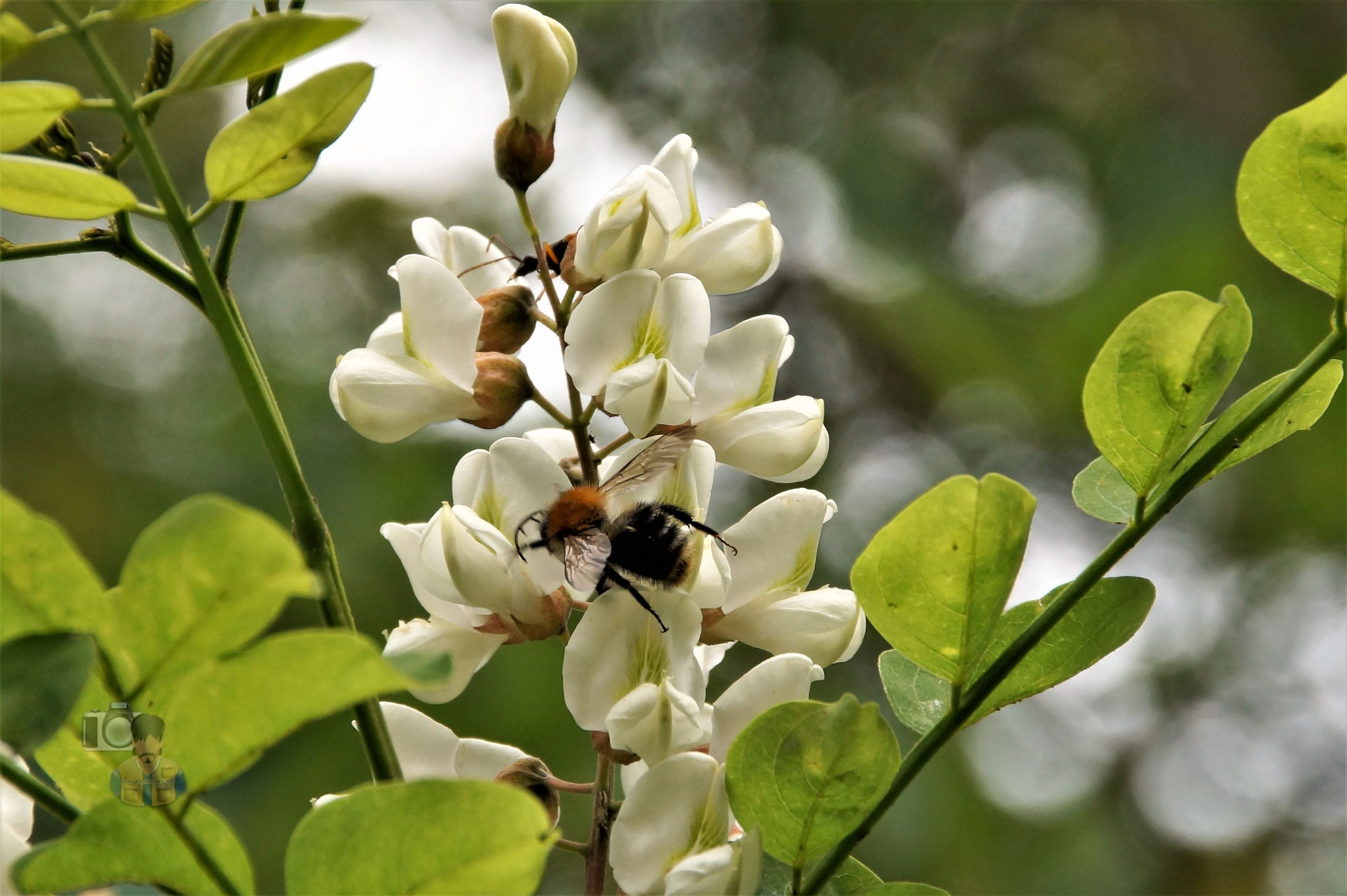 July 16, bumblebee on black locust second blossom by hunyadigeza